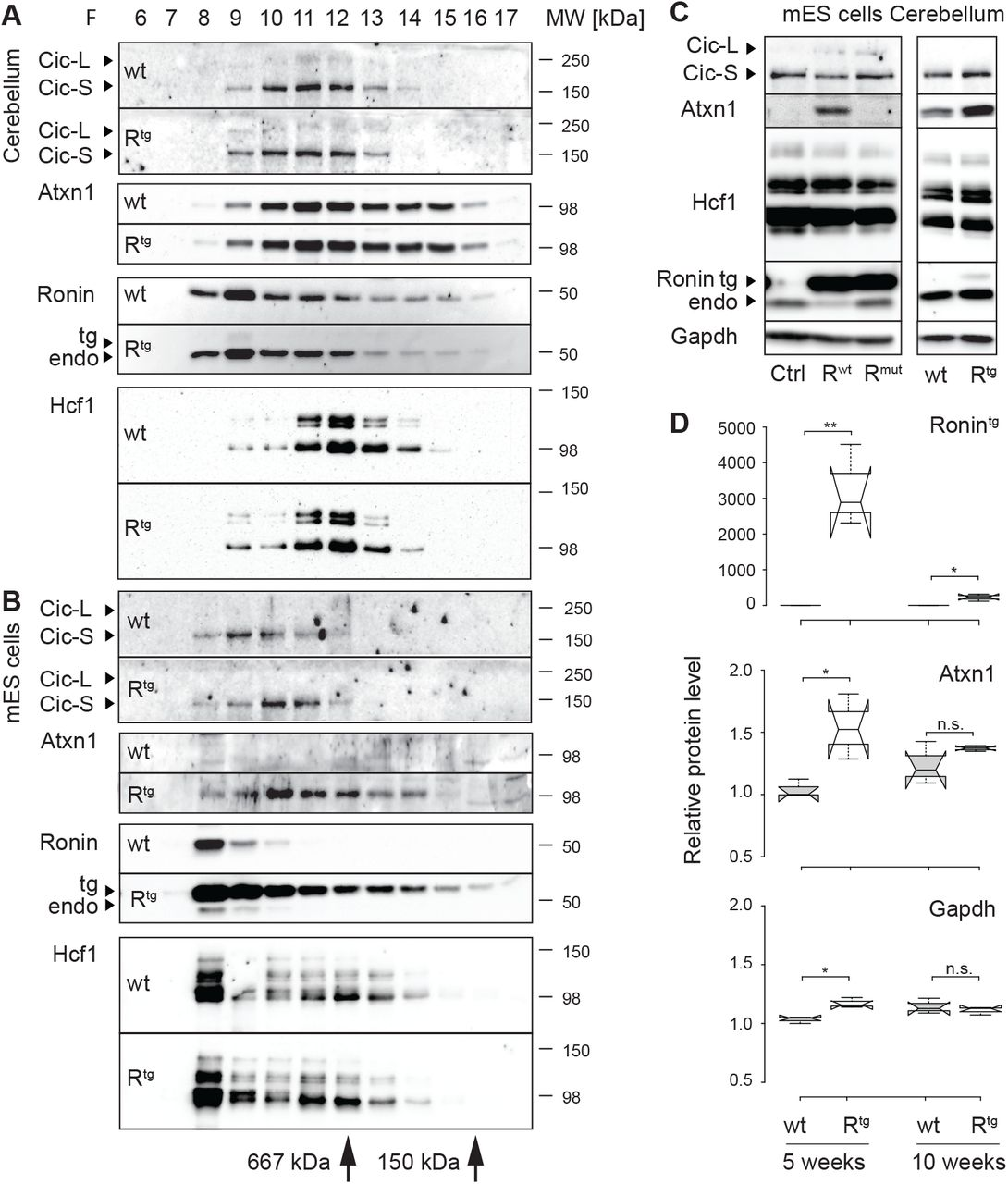 Transgenic expression of Ronin induces Atxn1. Representative Western blots of protein fractions collected by size exclusion chromatography of ( A ) cerebellar extracts or ( B ) mouse embryonic stem cell (mES) cell lysates. The size exclusion standards thyroglobulin (669 kDa) and ADH (150 kDa) are indicated. In the cerebellum, Ronin is part of a large protein complex that only partially overlaps with Hcf1. In ES cells, Atxn 1 expression is induced by transgenic expression of Ronin. Ronin and Hcf1 are eluting in similar fractions, indicating that they are part of the same protein complex. ( C ) Western blot analyses of equal protein amounts of ES cell lysates (left) or cerebellar extracts from 10-week-old animals (right) of indicated genotypes. While Atxn1 protein is not expressed in control ES cells overexpressing Luciferase (Ctrl), it is induced in Ronin overexpressing ES cells (R wt ) but not in cells overexpressing a Ronin mutant incapable of binding to Hcf1 (R mut ). Atxn1 levels are also elevated in vivo in transgenic (R tg ) animals when compared to wt controls. ( D ) Quantification of transgenic Ronin, Atxn1 and Gapdh protein levels as detected by Western blot in cerebellar extracts at 5 and 10 weeks of age. At 5 weeks, a ~1.5-fold induction of Atxn1 is observed in transgenic Ronin animals when compared with wildtype littermates. Reflective of the decrease in Purkinje cells, at 10 weeks of age the expression of transgenic Ronin and Atxn1 induction were drastically reduced in comparison to the earlier time point. n=3; **p