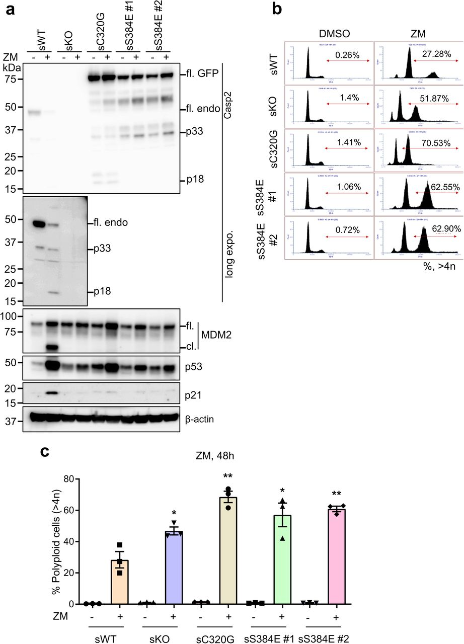 Caspase-2-S384E expressing cells fail to cleave MDM2 and show increased polyploidy following AURBK inhibition. GFP-expressing U2OS (sWT) and U2OS- CASP2 -/- expressing GFP (sKO), GFP-caspase-2-C320G (sC320G) or GFP-caspase-2-S384E (sS384 #1 and #2) were treated with DMSO or 2 µM ZM447439 (ZM) for 48 h and subjected to immunoblot and DNA content analysis. a. Representative immunoblots (of three independent experiments performed) of cell lysates from treated stable cell lines. Antibodies used for immunoblotting are as indicated. β-actin was used as loading control. b. Representative flow cytometric profiles of the DNA content in cells following ZM treatment. Percentage of polyploid cells ( > 4n) is indicated. c. Graph comparing percentage of cells with polyploid ( > 4N) DNA content following ZM treatment. mean ± SEM; n=3. *, vs. WT + ZM; *, p