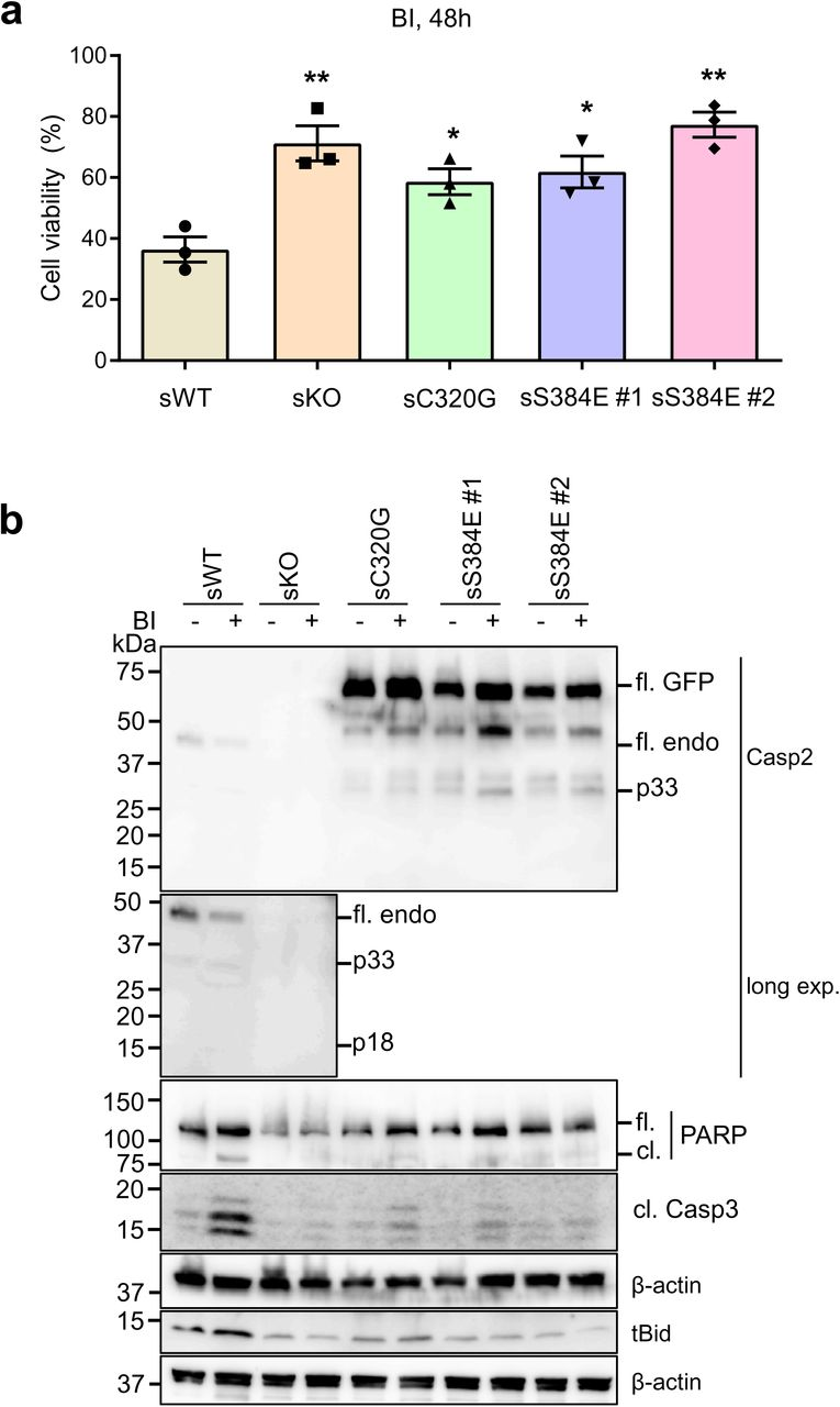 Caspase-2-S384E expressing cells are resistant to aberrant mitosis-mediated cell death. GFP-expressing U2OS (sWT) and U2OS- CASP2 -/- expressing GFP (sKO), GFP-caspase-2-C320G (sC320G) or GFP-caspase-2-S384E (sS384 #1 and #2), were treated with DMSO or 100 nM BI 2536 (BI) for 48 h and subjected to immunoblot and MTS assay. a. Plot showing percentage of viable cells following BI treatment. mean ± SEM; n=3. *, vs. WT; *, p