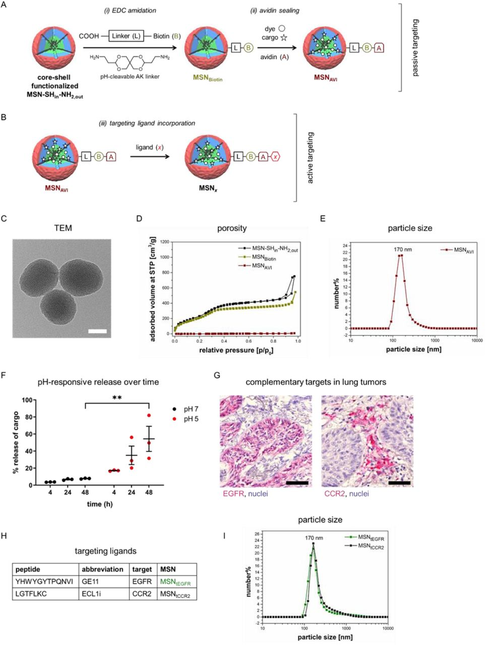 Increased uptake of CCR2 targeted nanoparticles in murine alveolar macrophages in vitro . a) EGFR expression in A549 cells in comparison to another NSCLC cell line, H520 cells, b) Western blot analysis of CCR2 expression in murine alveolar macrophage (MH-S) cells in comparison to A549 cells. c) Untargeted versus CCR2-targeted uptake of ATTO 633-labeled MSN AVI and MSN tCCR2 (red in the upper panel, gray in the lower panel) by MH-S cells after 1 h; CCR2 (green) and cell nuclei (blue) visualized by confocal microscopy. Scale bar = 25 μm. d) Increased uptake of ATTO 488-labeled MSN tCCR2 versus MSN AVI after 1 h by MH-S cells measured by flow cytometry analysis. * p = 0.0286, Mann-Whitney test; values given are an average of four independent experiments ± standard error of the mean.
