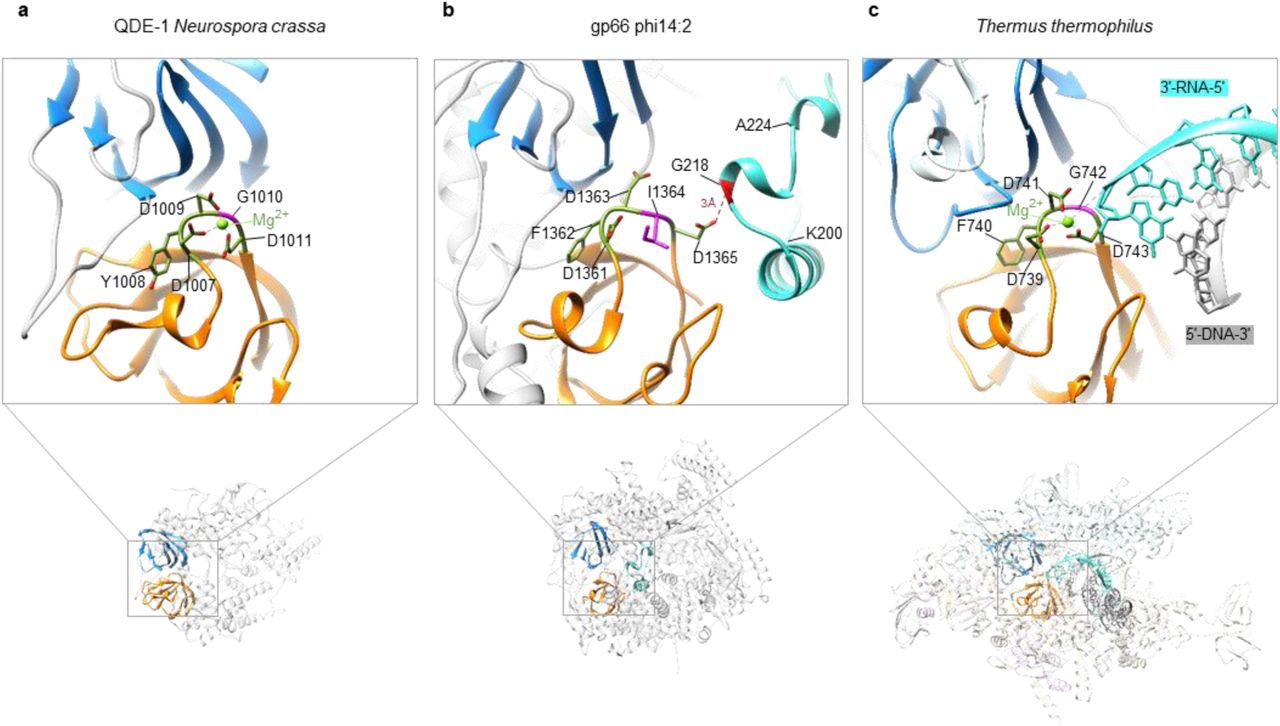 Cleft-blocking domain occupies the RNA-DNA hybrid binding site in phi14:2 RNAP gp66. a, b , and c , The structure of the active site of QDE-1 from N. crassa (PDB 2J7N 6 ), phi14:2 gp66, and T. thermophilus RNAP (PDB ID 2O5J 17 ), respectively. The active site of phi14:2 RNAP gp66 ( b ) is in a conformation incompatible with Mg binding.