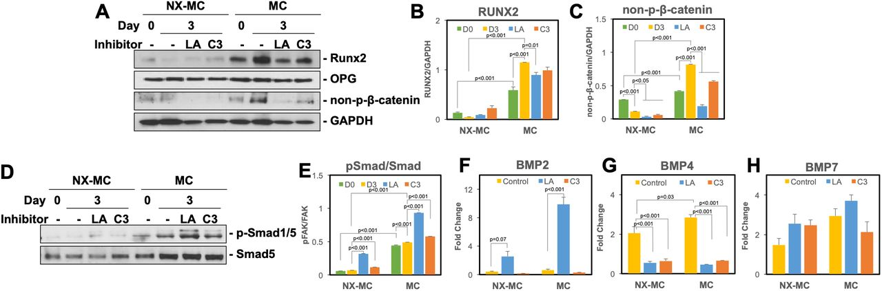 Inhibition of Rho GTPase or F-actin polymerization reduces active β-catenin with a compensatory increase in p-Smad1/5 and BMP2 expression Western blot of primary hMSCs cultured on NX-MC or MC for 0 or 3 days in osteogenic differentiation medium untreated, treated with 0.5 μM of LA, or treated with 3 μg/mL of C3 for ( A ) Runx2, OPG, non-p-β-catenin, and GAPDH or ( D ) p-Smad1/5 and Smad5. Densitometric quantification of western blot analyses demonstrating relative protein amounts of ( B ) Runx2 to GAPDH, ( C ) non-p-β-catenin to GAPDH, or ( E ) p-Smad1/5 to Smad5. QPCR of primary hMSCs cultured on NX-MC or MC for 0 or 3 days in osteogenic differentiation medium untreated, treated with 0.5 μM of LA, or treated with 3 μg/mL of C3 for ( F ) BMP2, ( G ) BMP4, and ( H ) BMP7. Bars represent means, errors bars represent SE. Significant posthoc comparisons following ANOVA indicated with p values.