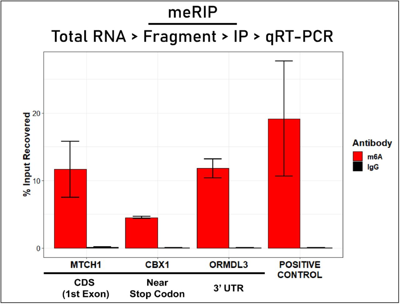 Experimental validation of select m 6 A residues. RNA immunoprecipitation using anti-m 6 A antibody (meRIP) followed by RT-qPCR was used (protocol outlined in top flowchart) to confirm the presence of m 6 A within the transcripts. Residues were chosen based on their location within the gene in order to gauge the ability of our method to identify m 6 A sites over a diverse profile of positions. Enrichment is measured as the percent of input recovered from the immunoprecipitation with anti-m 6 A compared to amount of input recovered using anti-IgG control. 'Positive Control' is a known m 6 A site within the EEF1A1 gene.