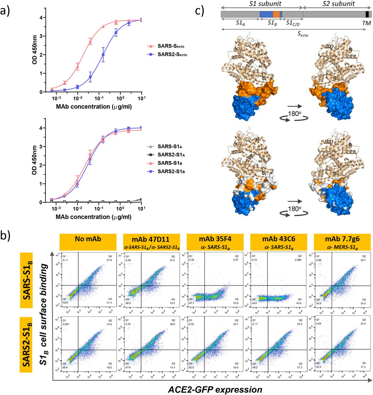 The neutralizing 47D11 monoclonal antibody binds the receptor binding domain of SARS-CoV and SARS-CoV-2 spike proteins without eliminating S1 B /ACE2 receptor interaction. a) ELISA binding curves of 47D11 to S ecto (upper panel) or S1 A and S1 B (RBD) (lower panel) of SARS-S and SARS2-S coated at equimolar concentrations. The average ± SD from at least two independent experiments performed is shown. b) Interference of antibodies with binding of the S-S1 B of SARS-CoV and SARS-CoV-2 to cell surface ACE2-GFP analysed by flow cytometry. Prior to cell binding, S1 B was mixed with mAb (mAbs 47D11, 35F4, 43C6, 7.7G6, in H2L2 format) with indicated specificity in a mAb:S1 B molar ratio of 8:1 (see Suppl.Fig.4 for an extensive analysis using different mAb:S1 B molar ratio's). Cells are analysed for (ACE2-)GFP expression (x-axis) and S1 B binding (y-axis). Percentages of cells that scored negative, single positive, or double positive are shown in each quadrant. c) Divergence in surface residues in S1 B of SARS-CoV and SARS-CoV-2. Upper panel: Structure of the SARS-CoV spike protein S1 B RBD in complex with human ACE2 receptor (PDB: 2AJF) 18 . ACE2 (wheat color) is visualized in ribbon presentation. The S1 B core domain (blue) and subdomain (orange) are displayed in surface presentation using PyMOL, and are visualized with the same colors in the linear diagram of the spike protein above, with positions of the S1 and S2 subunits, the S ectodomain (S ecto ), the S1 domains S1 A-D and the transmembrane domain (TM) indicated. Lower panel: Similar as panel above with surface residues on S1 B of SARS-CoV that are at variance with SARS-CoV-2 colorored in white.