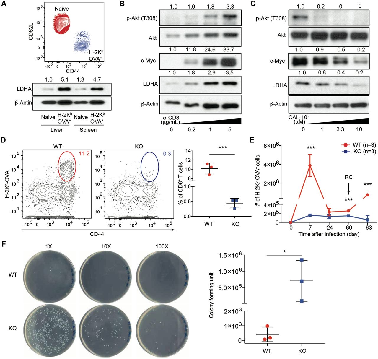 Schematics of cell sorting and cell culture, and characterization of anti-CD3-induced TCR proximal signaling in the absence or presence of PI3K inhibitor ( A ) A schematic of flow cytometry sorting strategy for naïve and H-2K b -OVA + CD8 + T cells from wild-type mice infected with LM-OVA for 7 days. ( B ) A schematic of in vitro CD8 + T cell culture with various doses of anti-CD3 and the PI3K inhibitor, CAL-101 in the presence of 2 μg/ml anti-CD28, and 100 U/ml IL-2. ( C ) Naïve CD8 + T cells were stimulated with increasing doses of anti-CD3 in the presence of 2 μg/ml anti-CD28, and 100 U/ml IL-2 for 24 hours. Cellular extracts were immunoblotted for p-Zap70 (T319), Zap70, p-LAT (T191), LAT, and β-Actin. Normalized expression of p-Zap70 (T319) to Zap70 and p-LAT (T191) to LAT were marked. ( D ) Naïve CD8 + T cells were stimulated with 5 μg/ml anti-CD3, 2 μg/ml anti-CD28, and 100 U/ml IL-2 in the absence or presence of increasing doses of the PI3K inhibitor, CAL-101, for 24 hours. Cellular extracts were immunoblotted for p-Zap70 (T319), Zap70, p-LAT (T191), LAT, and β-Actin. Normalized expression of p-Zap70 (T319) to Zap70 and p-LAT (T191) to LAT were marked.