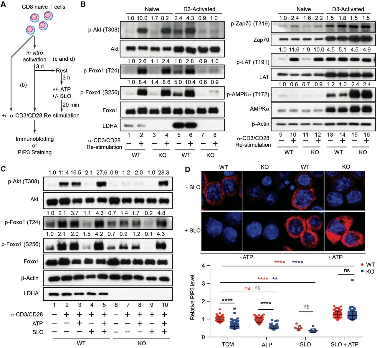 Reduced glycolytic ATP production accounts for defective PI3K/Akt/Foxo1 signaling in LDHA-deficient T cells following antigen stimulation ( A ) A schematic depicting how naïve CD8 + T cells were treated for assessment of kinase signaling and PIP3 generation. ( B ) Naïve CD8 + T cells were isolated from Ldha fl/fl (wild-type, WT) and CD4 Cre Ldha fl/fl (knockout, KO) mice, and stimulated with 5 μg/ml anti-CD3, 2 μg/ml anti-CD28, and 100 U/ml IL-2 for 3 days. Day-3 activated T cells and freshly isolated naïve WT and KO CD8 + T cells were left untreated, or labeled with biotinylated anti-CD3 and anti-CD28 and re-stimulated by streptavidin crosslinking. Cell lysates were prepared and immunoblotted for p-Akt (T308), Akt, p-Foxo1 (T24), p-Foxo1 (S256), Foxo1, LDHA, p-Zap70 (T319), Zap70, p-LAT (T191), LAT, p-AMPKα (T172), AMPKα, and β-Actin. Normalized expression of p-Akt (T308) to Akt, p-Foxo1 (T24) or p-Foxo1 (S256) to Foxo1, p-Zap70 (T319) to Zap70, p-LAT (T191) to LAT, and p-AMPKα (T172) to AMPKα were marked. ( C ) Day-3 activated WT and KO CD8 + T cells were collected, rested in RPMI medium for 3 hours, and incubated in the absence or presence of 10 mM ATP and/or 250 U/ml Streptolysin O (SLO). T cells were subsequently re-stimulated with biotinylated anti-CD3 and anti-CD28 through streptavidin crosslinking, and immunoblotted for p-Akt (T308), Akt, p-Foxo1 (T24), p-Foxo1 (S256), Foxo1, LDHA, and β-Actin. Normalized expression of p-Akt (T308) to Akt, p-Foxo1 (T24) or p-Foxo1 (S256) to Foxo1 were marked. ( D ) Representative immunofluorescent images of PIP3 and its quantification in WT and KO CD8 + T cells after receiving the indicated treatments as described in ( C ). Unpaired t tests for the measurements between the two groups ( D ): **p