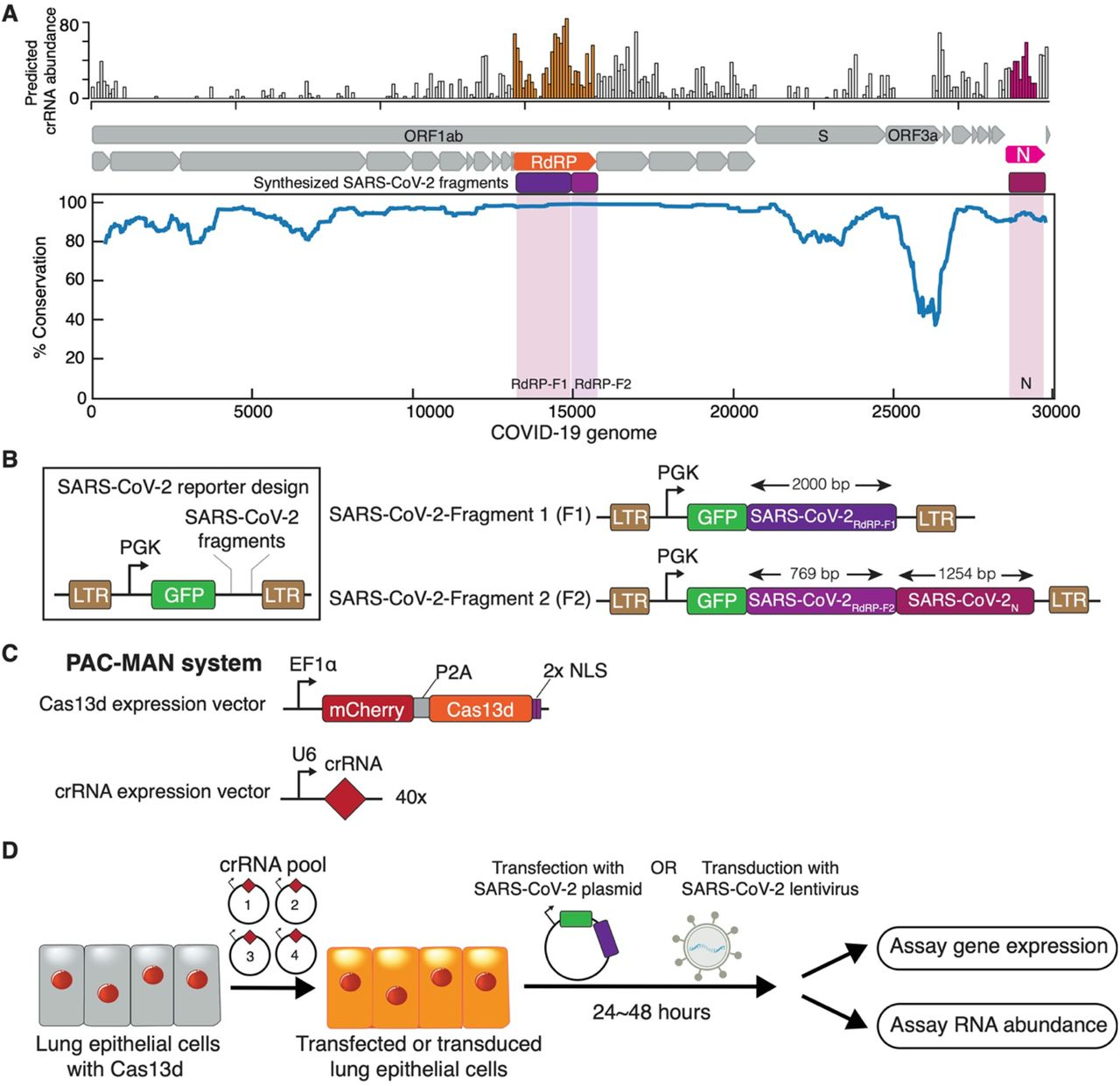 Bioinformatic analysis of CRISPR-Cas13d target sites for SARS-CoV-2 and the PAC-MAN system design. (A) Alignment of sequences from SARS-CoV-2 genomes from 47 patients along with SARS- and MERS-causing coronaviruses. Top: predicted abundance of crRNAs that are able to target SARS-CoV-2 genomes and SARS or MERS; Middle: annotation of genes in the SARS-CoV-2 genomes, along with conserved regions chosen to be synthesized into the SARS-CoV-2 reporters (in magenta and purple). Color regions indicate the synthesized SARS-CoV-2 fragments; Bottom: the percent of conservation between aligned viral genomes. See Supplemental Table 2 for the designed crRNA sequences and Supplemental Table 3 for synthesized SARS-CoV-2 fragments. (B) Schematic of the two reporters (SARS-CoV-2-F1/F2) created with synthesized viral sequences. SARS-CoV-2-F1 contains GFP fused to a portion of RdRP (RdRP-F1) and SARS-CoV-2-F2 contains GFP fused to portions of both RdRP (RDRP-F2) and N. (C) Schematics for the constructs used to express Cas13d or its crRNAs. (D) Workflow used to challenge Cas13d A549 lung epithelial cells with SARS-CoV-2 reporters.