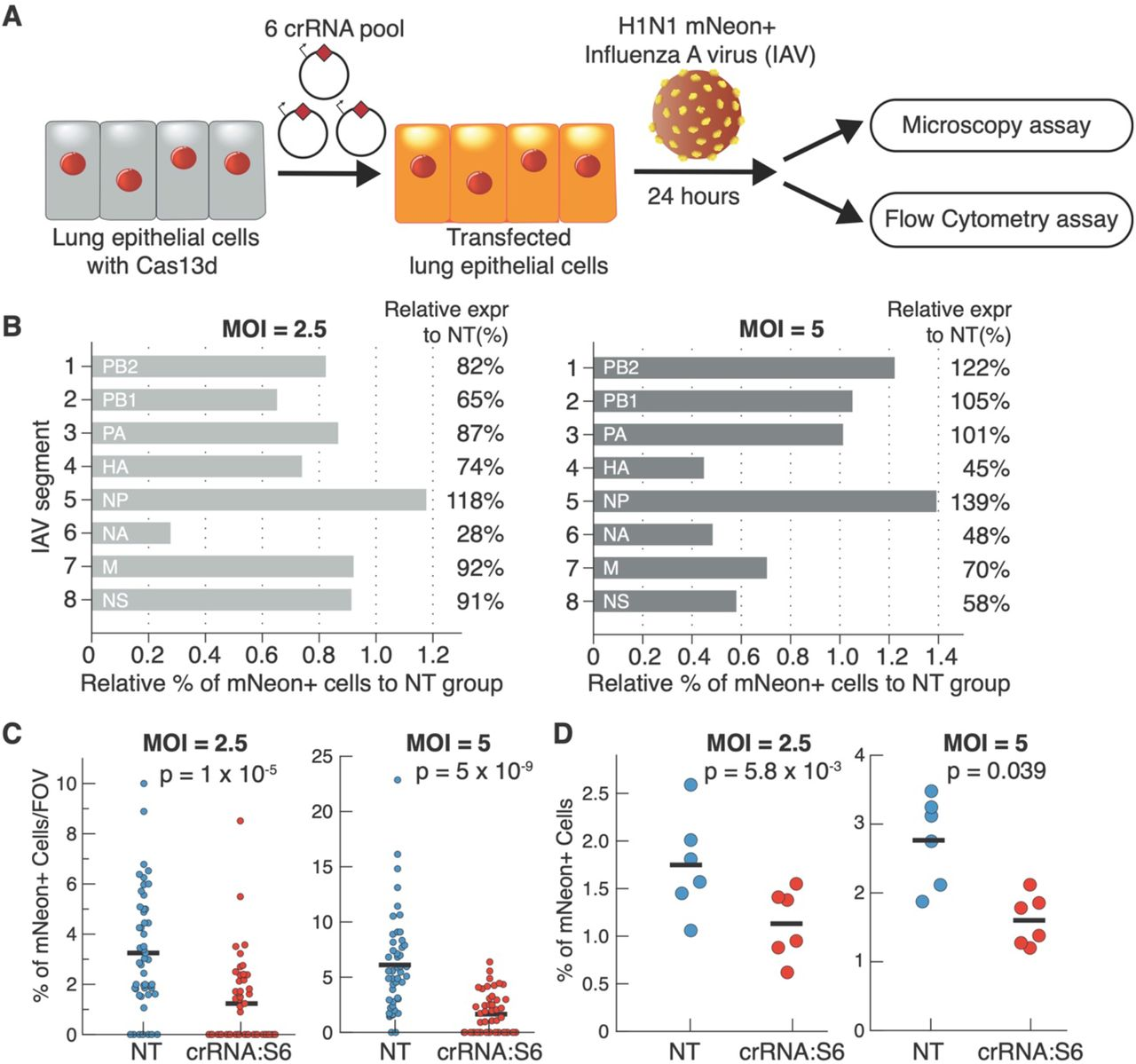 Inhibition of IAV infection using CRISPR PAC-MAN. (A) Workflow used to challenge Cas13d A549 lung epithelial cells with PR8 mNeon IAV. (B) Screen of pools of 6 crRNAs targeting each of the eight IAV genome segments. % of mNeon+ cells in each of the eight crRNA conditions are compared to a pool of non-targeting (NT) crRNAs at an MOI of 2.5 (left) or 5 (right). (C) Microscopy quantification of % of mNeon+ cells per field of view (FOV) at an MOI of 2.5 (p = 1×10 −5 , left) and 5 (p = 5×10 −9 , right). Each dot represents the % for a single microscopy FOV. N = 48 FOV. (D) Flow cytometry evaluation of % of mNeon+ cells at an MOI of 2.5 (p = 0.04, left) and 5 (p = 0.006, right). N = 6 biological samples.
