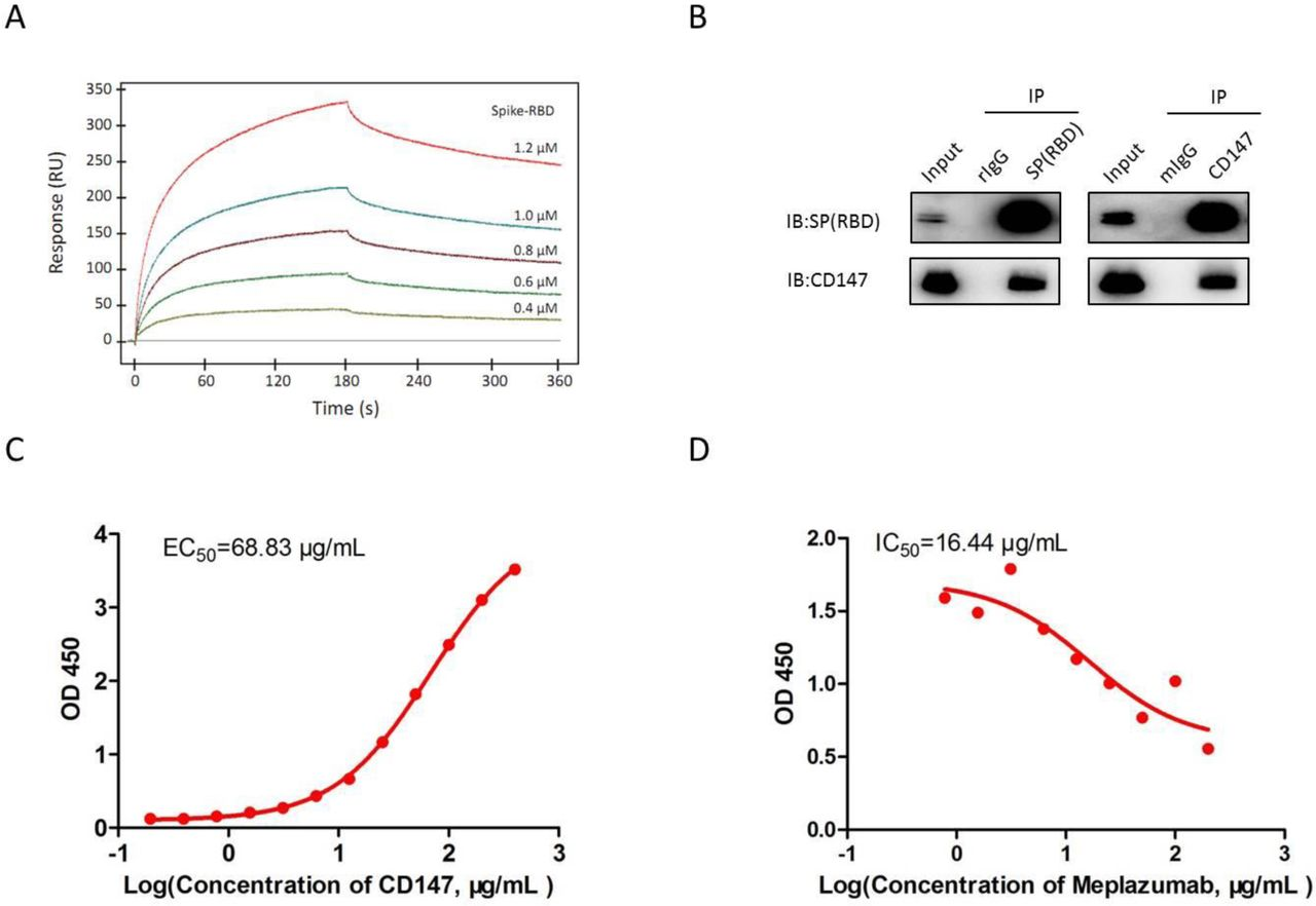 Identification of interaction between CD147 and SP. (A) The interaction of CD147 and SP detected by SPR assay, KD = 1.85×10 −7 M. (B) The interaction of CD147 and SP detected by Co-IP assay. Anti-CD147 antibody and anti-SARS-CoV-2 Spike antibody were used for antibody immobilization for Co-IP. The mIgG and rIgG were selected as negative control. (C) The interaction of CD147 and SP detected by ELISA. (D) The ability of Meplazumab to compete with SP for CD147 binding performed by competitive inhibition ELISA.