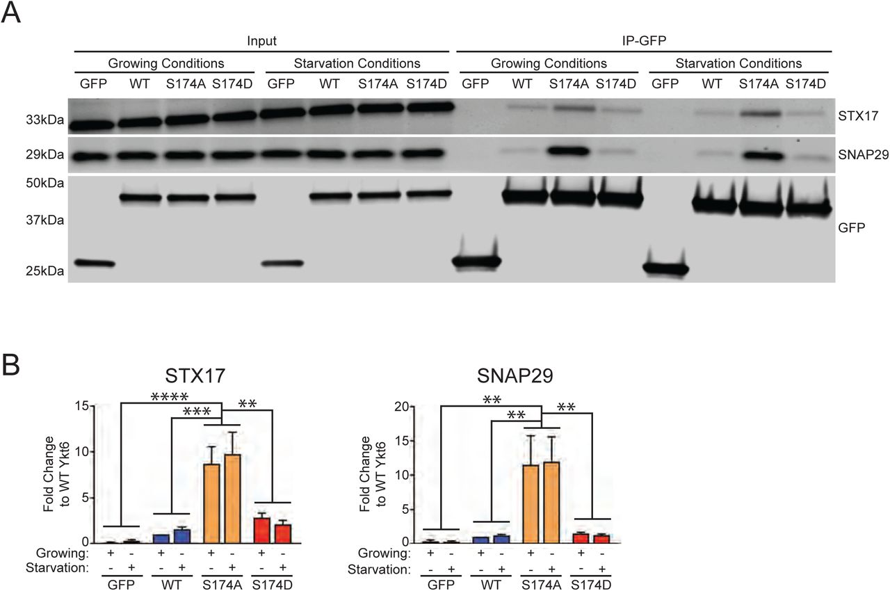 Ykt6 binding affinity for STX17, SNAP29 and Vamp8 is dependent on the phosphorylation at the evolutionarily conserved site in the SNARE domain. (A) Representative western blot of GFP immunoprecipitations from HEK293T cells expressing either GFP, wild-type (WT) GFP-Ykt6 or GFP-Ykt6 phosphomutants. Cells were treated for 2 hours (2h) in growing conditions (fresh 10% FBS and 4.5% glucose growth medium) or in starvation conditions (1X HBSS supplemented with 250nM Torin-1 and 10mM HEPES). (B) Quantification of STX17 and SNAP29 (A) relative to the efficiency of the pull down from each condition and normalized to WT Ykt6. N=3 *p