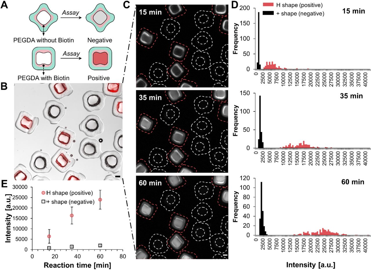 Duplex assay using shape-coded particles demonstrating minimal cross talk. (A) Schematic of the duplex assay showing the two particle populations: plus-shaped particles without biotin in the PEGDA layer are used as negative control population; H-shaped particles with biotin in the PEGDA layer are used as a positive population. (B) A merged image of bright field and fluorescent channels, after mixing plus- and H-shaped particles, incubating with 0.1 nM streptavidin-HRP solution, and initiating the HRP amplification reaction. There is contrast in the red fluorescent signal between plus-shaped particles and H-shaped particles. (C) Fluorescence images of the same field of view as in (B) at 15, 35 and 60 min after initiating the reaction. Red dotted lines in the images outline the PPG boundary of H-particles (positive) while white dotted lines outline the PPG boundary of plus-particle (negative). Scale bars in (B-C) represent 100μm. (D) Histograms showing the intensity distribution for a population of plus-shaped and H-shaped dropicles at 15, 35 and 60 min. (E) The mean of fluorescent intensity at these three timepoints 15, 35, and 60 min for H- and plus-shaped particles, showing the negative volume does not appear to have an appreciable increase in intensity over time even as the positive volume shows high levels of fluorescence intensity increase. The error bars represent standard deviation.