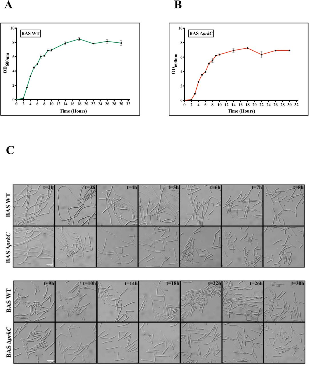 Effect of prkC disruption on chaining morphotype during different phases of bacterial growth. (A) Growth kinetics of BAS WT. BAS WT strain was grown in LB broth at 37°C. Absorbance [OD ( A600 nm )] was recorded at the indicated time points. Error bars denote standard deviation, n = 3. (B) Growth kinetics of BAS Δ prkC . BAS Δ prkC strain was grown in LB broth at 37°C. Absorbance [OD ( A600 nm )] was recorded at the indicated time points. Error bars denote standard deviation, n = 3. (C) Phase contrast images of BAS WT and BAS Δ prkC strains at different phases of bacterial growth cycle. Cells were grown at 37°C in LB broth and 1 ml sample was harvested at time points indicated in Fig. 2A and Fig. 2B . Cells were pelleted and washed with PBS and visualised under 100x/1.4 oil DIC objective of Zeiss Axio Imager Z2 Upright Microscope. Scale bar represents 10 μm.