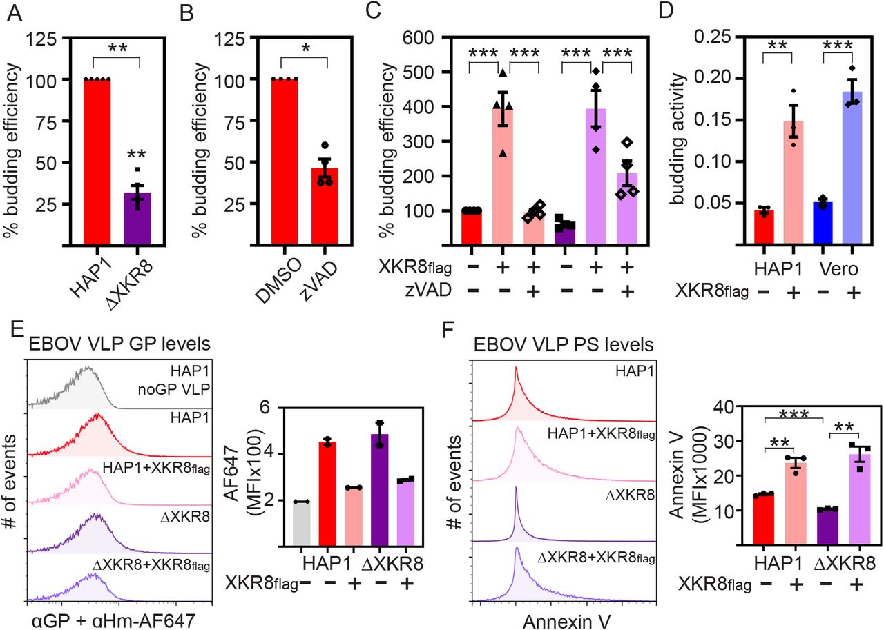 XKR8 activity is required for efficient EBOV VLP budding and particle PS levels. A) <t>HAP1</t> and ΔXKR8 cells were transfected with EBOV VLP components NP, GP, and VP40-nano-luciferase and budding activity was measured 24 hours following <t>transfection;</t> values were normalized to HAP1 budding efficiency. B) nLuc-VLPs were produced in HAP1 cells in the presence of DMSO or pan-caspase inhibitor Z-VAD-FMK (20μM). C) nLuc-VLPs were produced in HAP1 and ΔXKR8 cells with or without exogenous XKR8 FLAG , and in the presence of either DMSO or Z-VAD-FMK. D) nLuc-VLPs were produced in HAP1 and Vero cells with or without exogenous XKR8 FLAG . nLuc-VLP budding efficiencies were quantified. E) EBOV GP levels on VLPs produced in HAP1 and ΔXKR8 cells with or without exogenous XKR8 FLAG , VLPs were produced without GP for a negative control. Anti-EBOV-GP/anti-human AF647 fluorescence values for GFP+ VLPs are represented as histograms (left panel) and average MFIs (right panel). F) GFP-VLPs were also stained for surface PS using AnV. AnV-PE fluorescence values of GFP+ VLPs are represented as histograms (left panel) and average MFIs (right panel). Values shown are averages of at least three independent experiments ± SEM, * p
