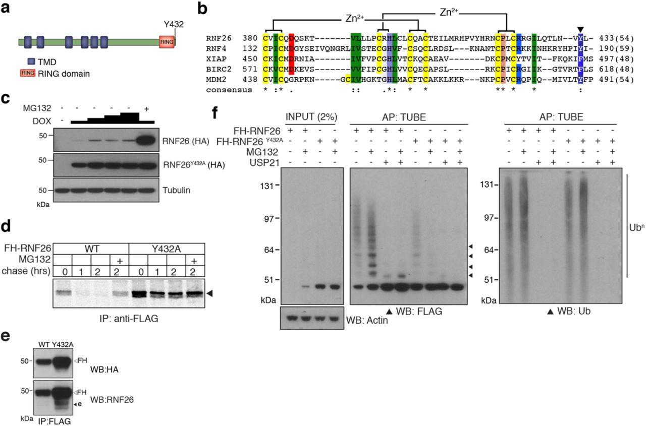 Characterisation of the RNF26 ubiquitin ligase complex. ( a ) Domain organisation of human RNF26 protein. ( b ) Protein sequence alignment of the RING domain and C-terminus of RNF26 with those of human RNF4 (P78317), XIAP (P98170), BIRC2 (Q13490) and MDM2 (Q00987). Conserved residues are demarcated according to the Rasmol colour scheme. ( c ) DOX titration of Flp-In ™ 293 cells stably expressing FH-RNF26 WT or FH-RNF26 Y432A ± <t>MG132</t> with lysates separated by SDS-PAGE and resulting western blots probed for RNF26 (anti-HA) and tubulin. ( d ) 35 S-Met/Cys pulse-chase assay (0, 1, 2 h) of DOX-induced Flp-In ™ 293 cells stably expressing FH-RNF26 WT or FH-RNF26 Y432A , ± MG132 and immunoprecipitated by anti-FLAG agarose. ( e ) Co-immunoprecipitation of endogenous RNF26 from DOX-induced Flp-In ™ 293 cells stably expressing FH-RNF26 WT or FH-RNF26 Y432A by anti-FLAG beads. Detection of FLAG-HA (FH) and endogenous (e) RNF26 by western blot using t he indicated antibodies. ( f ) <t>TUBE</t> pulldowns from FH-RNF26 WT or FH-RNF26 Y432A Flp-In ™ 293 cell lysates, ± MG132 and Usp21.