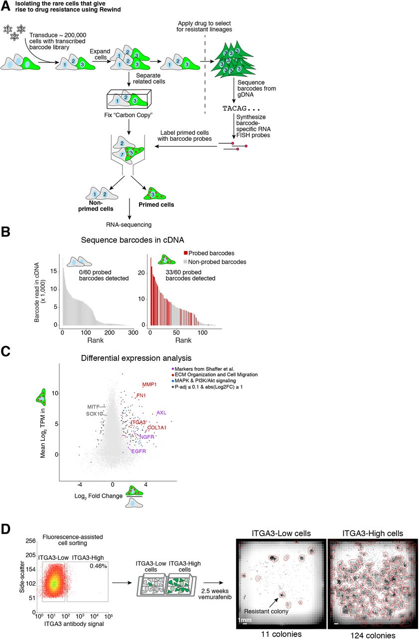 """Rewind identifies rare cell states giving rise to vemurafenib resistant colonies. A . Schematic of Rewind approach for isolating the initial primed WM989 A6-G3 melanoma cells that ultimately give rise to vemurafenib resistant colonies. For the experiment shown, we transduced ∼ 200,000 WM989 A6-G3 cells at an MOI ∼ 1.0 with our Rewind barcode library. After 11 days (∼4 population doublings) we divided the culture in two, fixing half in suspension as a Carbon Copy and treating the other half with 1 μM vemurafenib to select for resistant cells. After 3 weeks in vemurafenib, we extracted genomic DNA from the resistant cells that remain and identified their Rewind barcodes by targeted sequencing. We then designed RNA FISH probes targeting 60 of these barcodes and used these probes to specifically label cells primed to become resistant from our Carbon Copy. We then sorted these cells out from the population, extracted cellular RNA and performed RNA sequencing. B . To assess the sensitivity and specificity of the Rewind experiment in A, we performed targeted sequencing to identify barcodes from cDNA generated during RNA-seq library preparation. Bar graphs show the abundance (y-axis) and rank (x-axis) of each sequenced barcode (≥ 5 normalized reads). Red bars correspond to barcodes targeted by our probe set and gray bars correspond to """"off-target"""" barcode sequences. Inset shows the proportion of barcodes targeted by our probeset detected in each group. These data correspond to 1 of 2 replicates. In the second replicate, 30 out of 50 probed barcodes were detected in the sorted primed population. C . We performed differential expression analysis using DESeq2 of primed vs. non-primed sorted cells. Shown is the mean expression level (TPM) for protein coding genes in primed cells (y-axis) and log 2 fold change in expression estimated using DESeq2 (x-axis) compared to non-primed cells. Colors indicate differentially expressed genes related to ECM Organization and Cell Migration ("""
