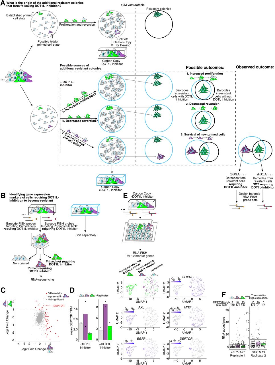"""Rewind identifies a distinct subpopulation of cells that require DOT1L inhibition to become vemurafenib resistant. A . Experimental approach for identifying the subpopulation of cells that require DOT1L inhibition to become vemurafenib resistant. These experiments began with approximately 400,000 WM989 A6-G3 cells transduced at an MOI ∼ 1.0 and allowed to divide for 6 days before splitting the culture into two groups. We treated one group with 4 μM DOT1L inhibitor (pinometostat) and the other with vehicle control (DMSO) for another 6 days. We then split each group again, fixing half as our """"Carbon Copies"""" and treating the other half with 1 μM vemurafenib for ∼2.5 weeks. After vemurafenib treatment, we extracted genomic DNA from the remaining cells for barcode sequencing. B . We compared the abundance of each barcode identified in resistant cells pre-treated with DOT1L inhibitor versus resistant cells pre-treated with vehicle control as shown in A. This comparison revealed a subset of barcodes with a greater relative abundance in resistant cells pre-treated with DOT1L inhibitor than resistant cells pre-treated with vehicle control (blue points). We used these barcodes to design RNA FISH probes targeting cells requiring DOT1L inhibition to become vemurafenib resistant. A separate set of barcodes showed similar high abundance with or without DOT1L inhibition (orange points), which we used to design RNA FISH probes targeting primed cells not requiring DOT1L inhibition to become resistant. C . Using these probes, we labeled and sorted cells requiring DOT1L inhibition to become vemurafenib resistant (blue), primed cells not requiring DOT1L inhibition (orange), and non-primed cells (gray) from Carbon Copies for RNA sequencing. We separately sorted cells from Carbon Copies treated with DOT1L inhibitor and Carbon Copies treated with vehicle control (2 biological replicates each). D . To identify markers of cells that require DOT1L inhibition to become resistant, we used DESe"""