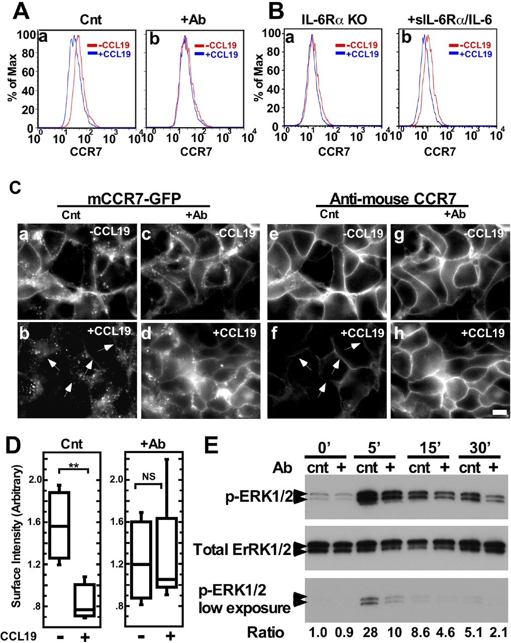 IL-6Rα signaling is critical for CCR7 internalization and CCL19-induced ERK1/2 phosphorylation. A , Effects of the blockage of IL-6 signaling on CCR7 internalization. WT BMDCs were stimulated with CCL19 for 5 min in the presence of either control (a) or neutralizing antibody (b), and then surface CCR7 expression was determined by flow cytometry. Surface expression of CCR7 was examined with CD86 + BMDCs before (-CCL19) and after CCL19 addition (+CCL19). Note that CCR7 internalization was blocked in the absence of a neutralizing antibody to IL-6Rα. B , Effects of IL-6 signaling on CCR7 internalization of IL-6Rα KO BMDCs. IL-6Rα KO BMDCs were stimulated with CCL19 in the absence (a) or presence of sIL-6Rα (soluble IL-6Rα) and IL-6 (b). Note that IL-6Rα KO BMDCs showed impaired CCR7 internalization (a), which was rescued by the addition of sIL-6Rα and IL-6 (b). C , Inhibition of CCR7 internalization by the blockage of IL-6 signaling in HEK293T epithelial cells. HEK293T cells stably expressing mouse CCR7-GFP were stimulated with CCL19 in the presence of either control or neutralizing antibody against IL-6Rα. a-d, fluorescence images of CCR7-GFP in control cells (a b) or IL-6Rα neutralizing antibody-treated cells (c d) before (a c) or after addition of CCL19 (b d). The same cells were counter stained with an antibody specific to mouse CCR7 to detect only surface CCR7 (e-h) in control (e f) or IL-6Rα neutralizing antibody-treated cells (g h) before (e g) or after (f h) addition of CCL19. D , Quantitative measurements of surface CCR7 immunofluorescence (panels e-h of C) at cell-to-cell contacts. In contrast to the control, the addition of a neutralizing antibody against IL-6Rα blocked internalization of CCR7. E , Effects of the blockage of IL-6 signaling on CCL19-induced ERK1/2 phosphorylation of WT BMDCs. WT BMDCs were stimulated with CCL19 in the presence of a control or neutralizing antibody, then ERK1/2 phosphorylation levels were determined at 0, 5, 15 and 30min after 