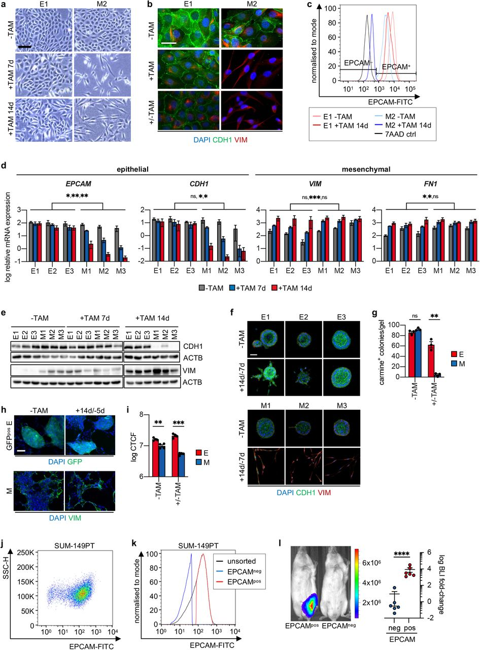 A subset of breast cancer single-cell clones resists complete EMT and maintains the ability to proliferate in different environments a , Bright field images of a representative E-SCC (E1) and a representative M-SCC (M2), untreated (-TAM), treated with Tamoxifen for 7 days (+TAM 7d), or treated with Tamoxifen for 14 days (+TAM 14d). Scale bar: 100 µm. b , Immunofluorescence staining of DAPI (blue), E-cadherin (CDH1, green), and Vimentin (VIM, red) of a representative E-SCC (E1) and a representative M-SCC (M2), untreated (-TAM), treated with Tamoxifen for 15 days (+TAM), or treated with Tamoxifen for 15 days followed by Tamoxifen withdrawal for 9 days (+/-TAM). Scale bar: 20 µm. c , Flow cytometric staining of EPCAM of a representative E-SCC (E1) and a representative M-SCC (M2), untreated (-TAM) or treated with Tamoxifen for 14 days (+TAM 14d). Gates for EPCAM were set according to a control as indicated by control cells only stained for 7AAD (7AAD ctrl). d , log relative mRNA expression levels of EPCAM, CDH1, VIM , and FN1 in E-SCCs (E1-E3) and M-SCCs (M1-M3), treated as described in a. n=3; mean ± SEM; multiple t-tests (Holm-Sidak correction); p-values: *