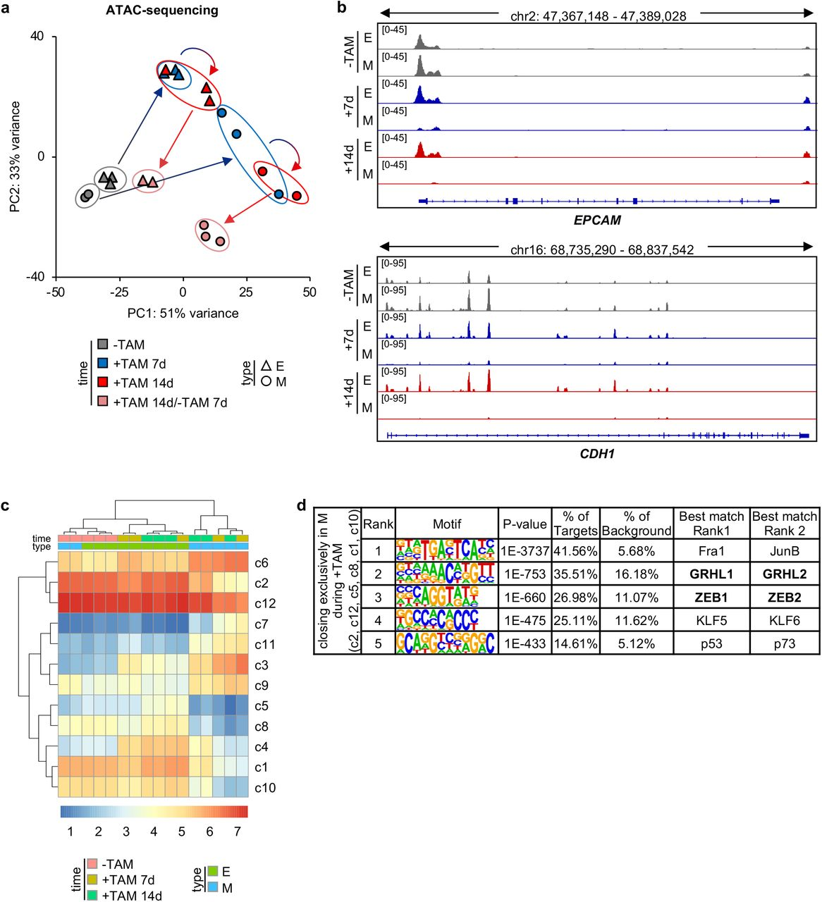 EMT-induction causes genome-wide chromatin and transcriptional changes a , Principal component (PC) analysis of ATAC-sequencing data of E-SCCs (△) and M-SCCs ( ◯ ), untreated (-TAM), treated with Tamoxifen for 7 days (+TAM 7d), treated with Tamoxifen for 14 days (+TAM 14d), or treated with Tamoxifen for 14 days followed by Tamoxifen withdrawal for 7 days (+TAM 14d/-TAM 7d). Each data point represents one SCC at the indicated time point. b , Genome browser high resolution screenshot of ATAC-sequencing data of EPCAM and CDH1 of one representative E-SCC (E) and one representative M-SCC (M), untreated (-TAM), treated with Tamoxifen for 7 days (+7d), or treated with Tamoxifen for 14 days (+14d). c , Heatmap of chromatin accessibility of 12 clusters of ATAC-sequencing peaks of E-SCCs and M-SCCs treated as described in b. d , Top 5 hits of Homer de novo transcription factor motif analysis of grouped clusters closing exclusively in M-SCCs (M) during Tamoxifen treatment (+TAM).