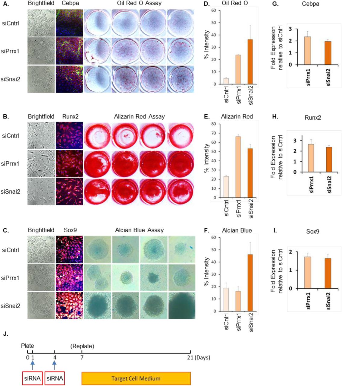 Dedifferentiation of Rat Embryonic Fibroblasts to dMSCs and dPSCs by transient repression of Snai2 and Prrx1. A,D) Brightfield photomicrographs of REFs transfected with siCntrl, siPrrx1 siSnai2, (Rows 1,2 and 3) that were incubated in MSC media or Rat ESC media for 14 days. IF photomicrographs assess expression of MSC TF Myc (Red) and ESC TFs (Sox2 and Nanog in Red) and DAPI (Blue) in all three groups (Scale bar, 10µm). D) (Column 4) Brightfield photomicrographs of free-floating embryoid bodies on day 8 of suspension culture in differentiation media following transfection of REFs with siCntrl, siPrrx1 siSnai2 and incubation in Rat ESC media for 14 days. B) MSC activity was ascertained using Alkaline Phosphatase Assay. C,E) q-RTPCR analysis to assess increase in relative expression of Myc, Klf4, Sox2 and Nanog compared to housekeeping gene (B2m) in siPrrx1 and siSnai2 treated REFs when incubated in MSC and ESC media respectively for 14 days. F, G and H) IF Confocal microscopy images assess expression of Ectodermal TFs Sox2 (green) and Otx-2 (red), Mesodermal TFs Brachyury (green) and Hand1 (red), and Endodermal TFs Gata-4 (green) and Sox17 (red) of embryoid bodies at Day 8 in the siSnai2 group, nuclear counterstain DAPI (blue).