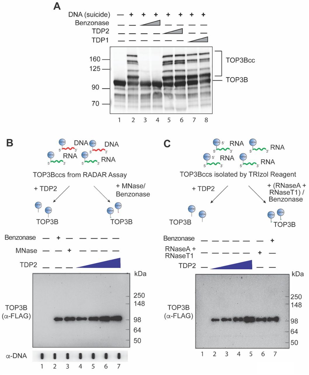 Recombinant Human TDP2 Only Unhooks Denatured but Not Native TOP3B from TOP3Bcc (A) Recombinant human TDP2 does not excise native TOP3Bccs. A 69-mer single-stranded DNA oligonucleotide was designed to study the processing of suicidal TOP3Bccs by TDP2. The oligonucleotide (300 nM)was incubated with purified recombinant human TOP3B (4 uM). Irreversible (suicidal) TOP3Bccs result in slower migrating DNA (Lane 2). Positions of free TOP3B and TOP3Bccs are indicated. Suicidal TOP3Bccs were incubated with increasing concentration (1 or 3 μM) of recombinant TDP1 (Lanes 7 and 8) or TDP2 (1 or 3 μM, Lanes 5 and 6). Benzonase (3 or 9 Units, Lanes 3 and 4) was used as positive control for degradation of the oligonucleotide and release of TOP3B. Samples were resolved by SDS-PAGE and immunoblotted with anti-TOP3B antibody. (B-C) Recombinant human TDP2 excises denatured cellular DNA and RNA TOP3Bccs. (B) HEK293 cells were transfected with FLAG-tagged R338W TOP3B and nucleic acids and protein-nucleic acid adducts were recovered by RADAR assay. After incubation with increasing concentrations of recombinant TDP2 (1, 2, 3 and 6 μM, lanes 4-7), micrococcal nuclease (MNase, 300 Units/reaction, lane 3) or benzonase (250 Units/reaction, lane 2), reaction mixtures were analyzed by immunoblotting with anti-FLAG antibody after SDS-PAGE. Benzonase and MNase were used as controls for complete degradation of DNA and RNA in TOP3Bccs. (C) HEK293 cells were transfected with R338W TOP3B. Covalent protein-RNA adducts were isolated 72 hs later using TRIzol® reagent. After incubation with increasing concentrations of recombinant TDP2 (1, 2, 3 and 6 μM, lanes 2-5), excess amount of RNase A (200 μg/mL) and RNase T1 (200 Units/ml) mix (Lane 6) or benzonase (250 Units/ reaction, lane 7), reaction mixtures were analyzed by immunoblotting with anti-FLAG antibody after SDS-PAGE. Benzonase and RNase A and RNase T1 mix were used as controls for complete degradation of RNA covalently attached to TOP3Bccs.