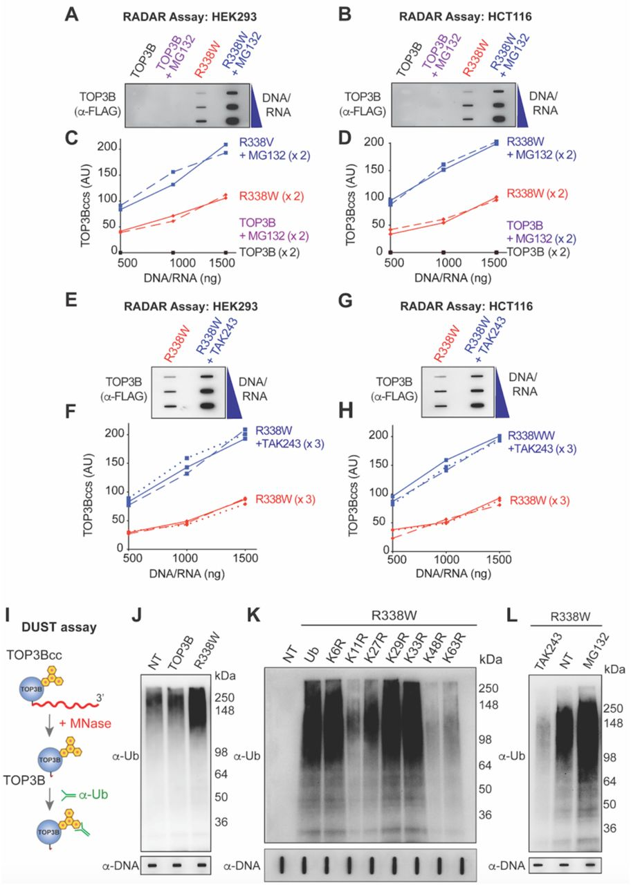 Cellular TOP3Bccs are Ubiquitylated and Degraded by the Proteasomal Pathway (A-D) Proteasome inhibition enhances cellular TOP3Bccs. HEK293 (A) and HCT116 cells (B) were transfected with FLAG-tagged wild-type TOP3B and R338W TOP3B for 72 h. Before harvest, cells were treated with MG132 (10 µM, 2 h). TOP3Bccs were detected by RADAR assays using anti-FLAG antibody. The figure is representative of two independent experiments. (C-D) Quantitation of TOP3Bccs in two independent RADAR assays as shown in panels A and B. Two independent experiments are plotted for each panels. (E-H) Ubiquitylation inhibition enhances cellular TOP3Bccs. HEK293 (E) and HCT116 cells (G) were transfected with FLAG-tagged R338W TOP3B for 72 h. Before harvesting, the cells were treated with the UAE inhibitor TAK-243 (10 µM, 2 h). TOP3Bccs were detected by RADAR assays using anti-FLAG antibody. The figure is representative of three independent experiments. (F H) Quantitation of RADAR assays as shown in panels E and G. Three independent experiments are plotted for each panels. (I) Scheme of the DUST (Detection of Ubiquitylated-SUMOylated TOPccs) assay. Following the isolation of TOP3Bccs by RADAR assay, the covalently attached nucleic acids are digested with micrococcal nuclease (MNase). Ubiquitylated TOP3B can then be detected by immunoblotting following SDS-PAGE. (J) Ubiquitylation of TOP3Bccs in HCT116 cells transfected with FLAG-tagged R338W TOP3B for 72 h, as detected by the DUST Assay. Equal loading was tested by slot-blotting and probing with anti-dsDNA antibody. (K) TOP3Bcc ubiquitylation involves the classical proteasomal-specific linkages to lysines K11, K27, K48 and K63. HCT116 cells were co-transfected with FLAG-tagged R338W TOP3B plasmid construct and HA-tagged wild-type or mutant ubiquitin constructs. DUST assays were performed after 72 h. (L) Inhibition of TOP3Bcc ubiquitylation by the UBE1 inhibitor TAK-243 and enhancement by the proteasome inhibitor MG132. HCT116 cells transfected wi
