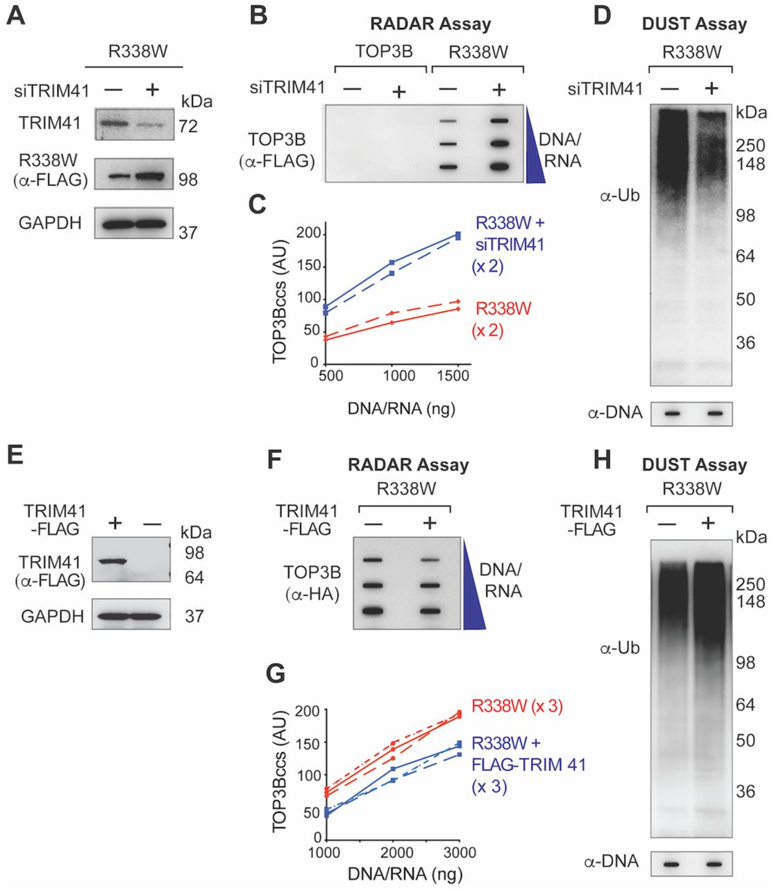 TRIM41 acts as Ubiquitin Ligase for TOP3Bccs and Promotes the Repair of TOP3Bccs (A) Immunoblots showing TRIM41 and R338W TOP3B expression after TRIM41 down-regulation (GAPDH as loading control). HCT116 cells were either transfected with FLAG-tagged R338W TOP3B plasmid construct alone or co-transfected with siTRIM41construct for 72 h. (B) HCT116 cells were transfected with FLAG-tagged wild-type or R338W TOP3Bs or co-transfected with siTRIM41construct for 72 h. Cells were harvested and nucleic acids and protein-nucleic acid adducts isolated by RADAR assay. TOP3Bcc were detected with anti-FLAG antibody. The figure is representative of two independent experiments. (C) Quantitation of TOP3Bccs in 2 independent RADAR assays as shown in panel B. (D) HCT116 cells were transfected with FLAG-tagged R338W TOP3B alone or with siTRIM41construct. After 72 h, TOP3Bcc ubiquitylation was detected by DUST assay. Samples were also subjected to slot-blotting and probed with anti-dsDNA antibody as loading control. (E) Immunoblot showing expression of TRIM41 with GAPDH as loading control. HCT116 cells transfected with FLAG-tagged TRIM41 for 48 h. (F) HCT116 cells were either transfected with HA-tagged R338W TOP3B plasmid construct alone or co-transfected with FLAG-tagged TRIM41 construct. After 48 h cells were harvested and nucleic acids and protein-nucleic acid adducts were isolated by RADAR assay. TOP3Bccs were detected using anti-HA antibody. The figure is representative of three independent experiments. (G) Quantitation of TOP3Bcc formation in 3 independent RADAR assays as shown in panel F. (H) HCT116 cells were either transfected with HA-tagged R338W TOP3B plasmid construct alone or co-transfected with FLAG-tagged TRIM41construct. After 48 h, TOP3Bcc ubiquitylation was detected by DUST assay. Samples were also subjected to slot-blotting and probing with anti-dsDNA antibody as loading control.