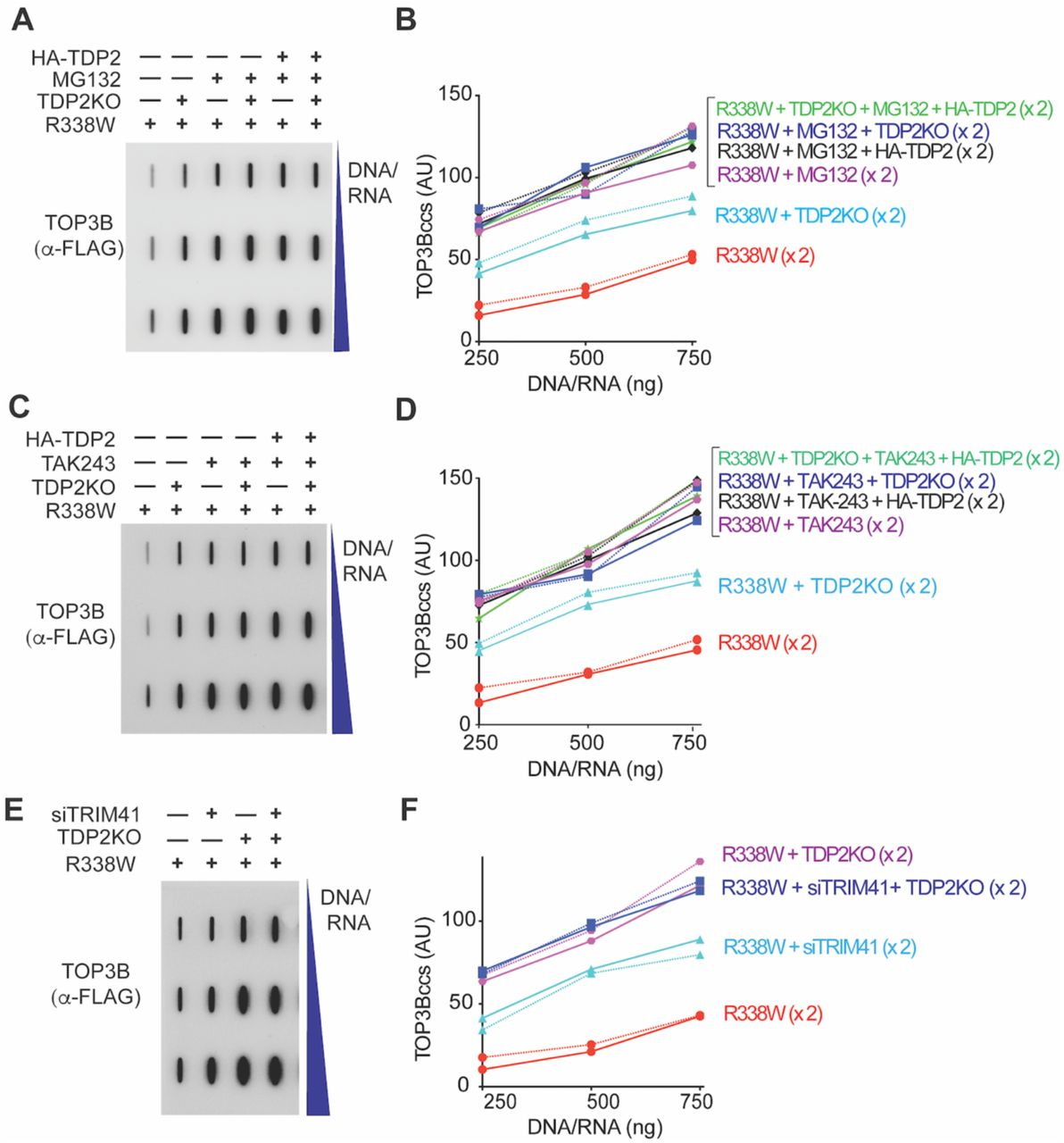 TDP2-Mediated Repair of TOP3Bccs is Dependent on Ubiquitination and Proteasomal Degradation (A) Wild-type and TDP2KO HCT116 cells were transfected with FLAG-tagged R338W TOP3B alone or co-transfected with HA-tagged TDP2 plasmid construct and incubated for 72 h. Before harvest, cells were treated with MG132 (10 µM, 2 h). Nucleic acids and protein-nucleic acid adducts were recovered by RADAR assay, slot-blotted and TOP3Bccs were detected using anti-FLAG antibody. The figure is representative of two independent experiments. (B) Quantitation of TOP3Bccs in 2 independent RADAR assays as shown in panel A. TOP3Bccs were measured by densitometric analyses of slot-blot signals and plotted individually (x2) as a function of total nucleic acid (DNA and RNA) concentration. (C) Wild-type and TDP2KO HCT116 cells were transfected with FLAG-tagged R338W TOP3B alone or co-transfected with HA-tagged TDP2 plasmid construct and incubated for 72 h. Before harvest, cells were treated with TAK-243 (10 µM, 2 h). Nucleic acids and protein-nucleic acid adducts were recovered by RADAR assay, slot-blotted and TOP3Bccs were detected using anti-FLAG antibody. The figure is representative of two independent experiments. (D) Quantitation of TOP3Bccs in 2 independent RADAR assays as shown in panel C. (E) Wild-type and TDP2KO HCT116 cells were transfected with FLAG-tagged R338W TOP3B alone or co-transfected with siTRIM41 constructs and incubated for 72 h. Cells were harvested, nucleic acids containing protein adducts isolated by RADAR assay and slot blotted. TOP3Bccs were detected with anti-FLAG antibody. The figure is representative of two independent experiments. (F) Quantitation of TOP3Bccs in 2 independent RADAR assays as shown in panel E.