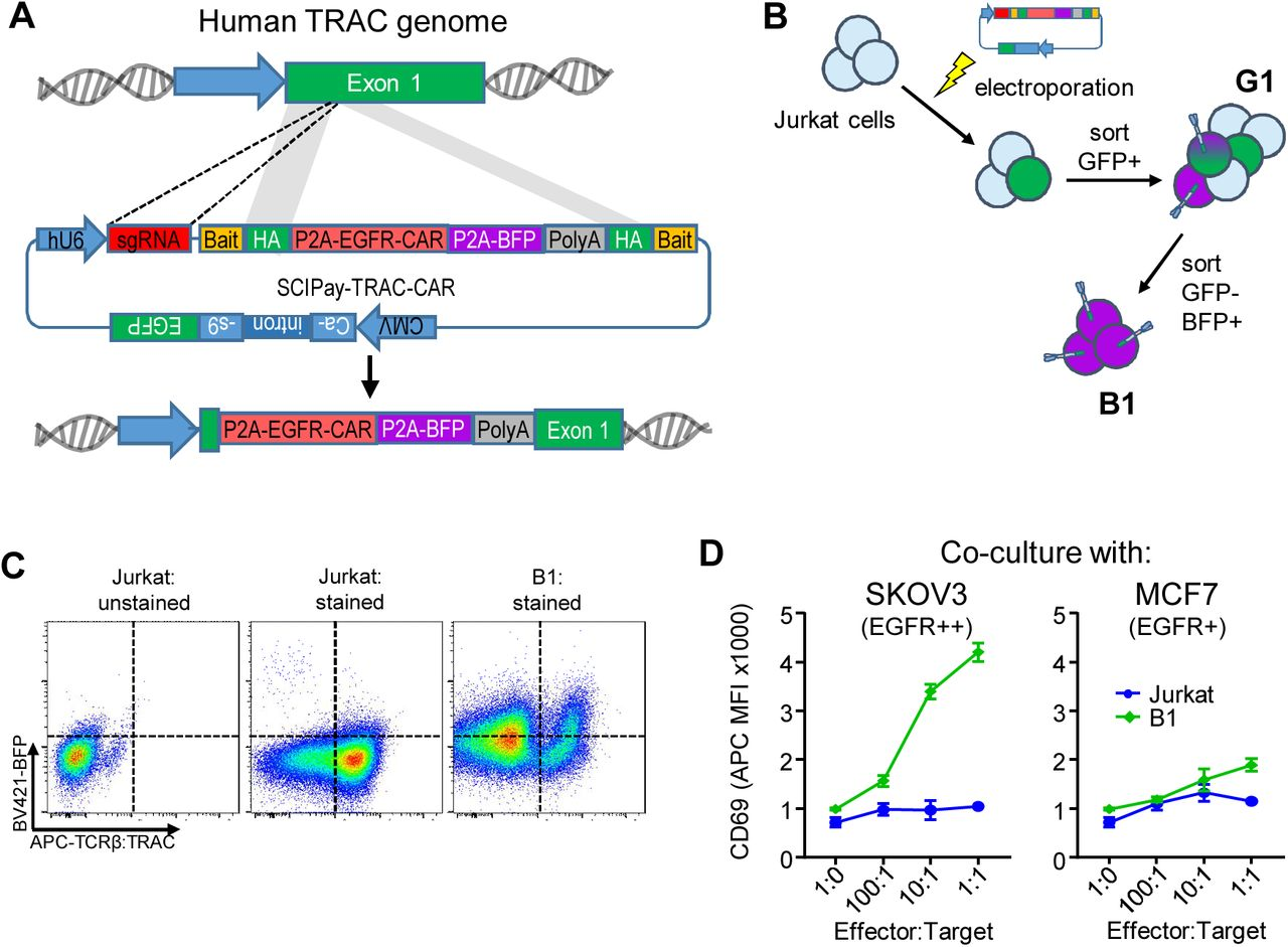 Using SCIPay to insert a chimeric antigen receptor (CAR) into the T cell receptor alpha subunit (TRAC) gene. (A) Overview of SCIPay designed to insert an anti-EGFR CAR with BFP into the human TRAC gene. (B) Outline of cell engineering strategy. After <t>electroporation,</t> successfully transfected cells were sorted twice to enrich BFP-positive cells. (C) BFP and TCR/TRAC expression on double-sorted population (B1). (D) Surface CD69 expression during co-culture between the indicated cell population and SKOV3 or MCF7 cells. Results in (D) represent means +/- SEM of 3 independent experiments.