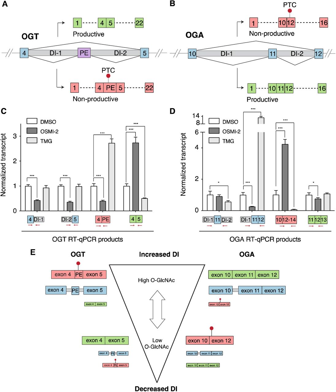 O-GlcNAc levels regulate OGT and OGA DI splicing so that exon inclusion/skipping results in opposite effects on productive message. (A) Splice junctions derived from RNA-seq for OGT and OGA show two predominant fully-spliced isoforms, a functional one for OGT (A) and a non-functional one for OGA (B) . HEK-293T cells were treated with DMSO (white bars), OGT inhibitor (10 μM OSMI-2, dark grey) or OGA inhibitor (5 μM TMG, light grey) for 2 h and RT-qPCR was used to measure levels of the indicated products for OGT (C) or OGA (D) , which report on the presence of DIs as well as skipped or included exons. Red arrows depict location of primers with respect to detected products. Products levels were determined relative to a housekeeping gene (actin) and were normalized to the DMSO control (n ≥ 3 biological replicates; mean ± s.d, * P ≤ 0.05, *** P ≤ 0.001, two-tailed Student's t -test). (E) Low O-GlcNAc favors the non-DI pathway to increase functional OGT mRNA and non-functional OGA mRNA. High O-GlcNAc favors formation of DIs, the splicing of which, increases non-functional OGT and functional OGA .