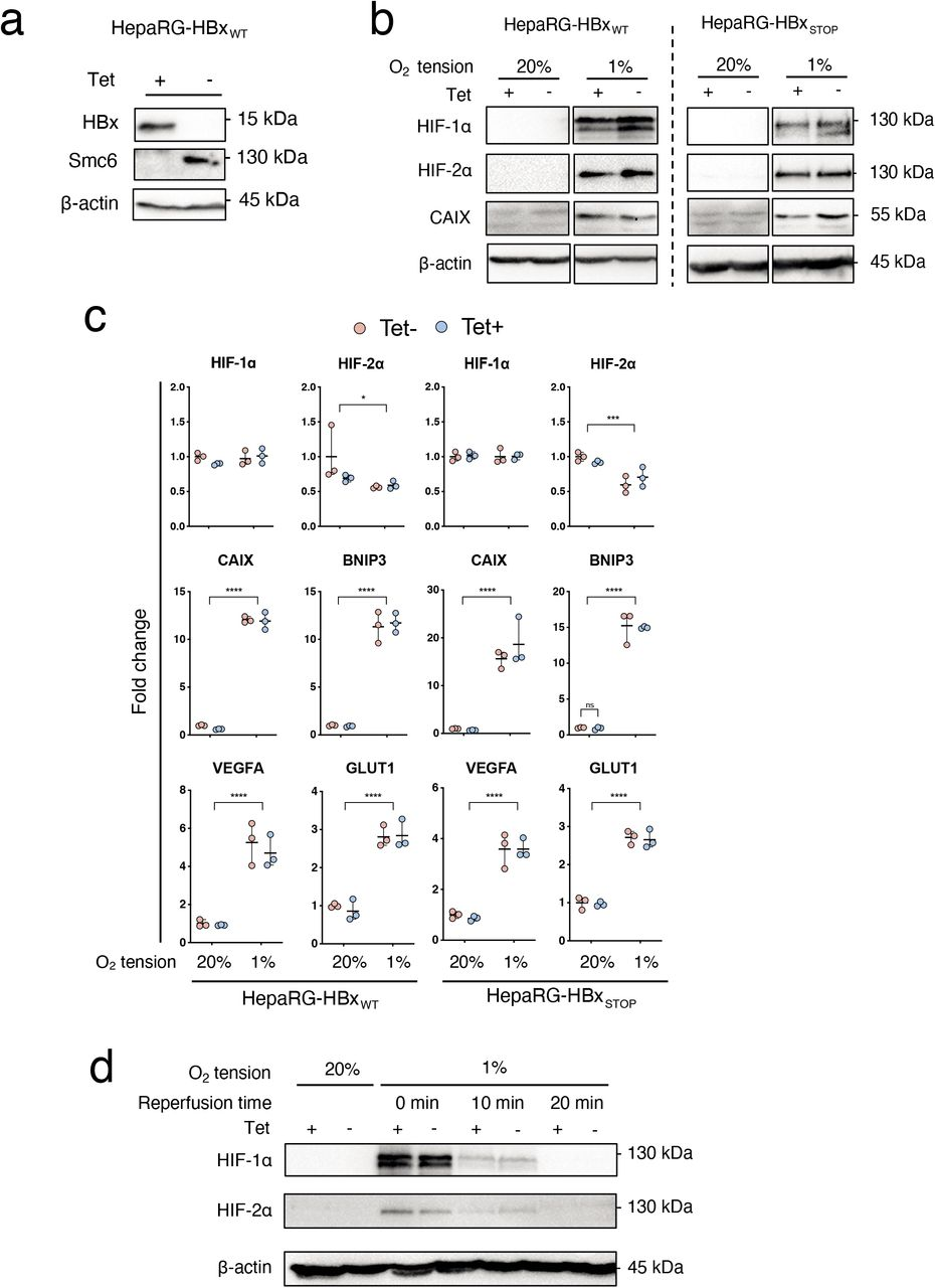 Effect of HBx on HIF expression and transcriptional activity in HepaRG cells HepaRG cells encoding HBx were incubated with Tet (50 μM) for 24 h and HBx protein and Smc6 expression detected by western blot ( a ). HepaRG cells encoding WT or mutated HBx (STOP) were incubated with or without Tet (50 μM, 24 h) and cultured under 20% or 1% oxygen conditions for 24h. Cells were lysed and expression of HIF-1, HIF-2, Carbonic anhydrase IX ( CAIX ) and housekeeping gene B-actin assessed by western blotting ( b ) and mRNA levels of HIF-1, HIF-2 and several HIF target genes ( CAIX, BNIP3, VEGFA and GLUT1 ) quantified by qPCR ( c ). HepaRG cells encoding wild type HBx were incubated with Tet (50 μM, 24 h) and cultured at 20% or 1% oxygen for 24h. The hypoxic cultures were returned to 20% oxygen. After 10 or 20 mins, cells were lysed and screened for HIF-1α or HIF-1α and housekeeping gene B-actin expression ( d ). The data is shown from a single experiment and is representative of three independent experiments and represents mean ! standard deviation. Normality distribution was assessed by D'Agostino-Pearson test; 2-way-ANOVA with Bonferroni correction was applied with p