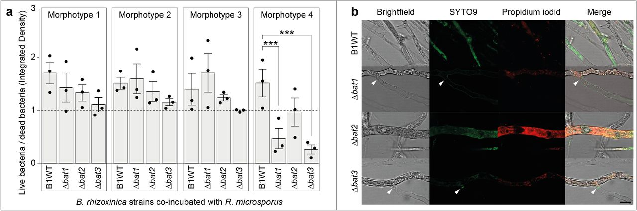 Viability test of Rhizopus microsporus re-infected with Burkholderia rhizoxinica transcription-activator like effector (BAT) mutant strains. a , Endosymbiont-free R. microsporus ATCC62417/S was co-incubated with B. rhizoxinica BAT mutant strains (Δ bat1 ::Apra r , Δ bat2 ::Kan r , and Δ bat3 ::Kan r ) for 72 hours. Co-cultures were stained with LIVE/DEAD BacLight fluorescent dyes inside the microfluidic device. Following fluorescence microscopy, the integrated density was calculated for both live (SYTO9) and dead bacteria (propidium iodide) using Fiji and the ratio (live/dead) was plotted for each morphotype (see Methods for details). N = 3 biological replicates (16 technical replicates) ± one SEM. One-way ANOVA with Tukey's multiple comparison test (*** p