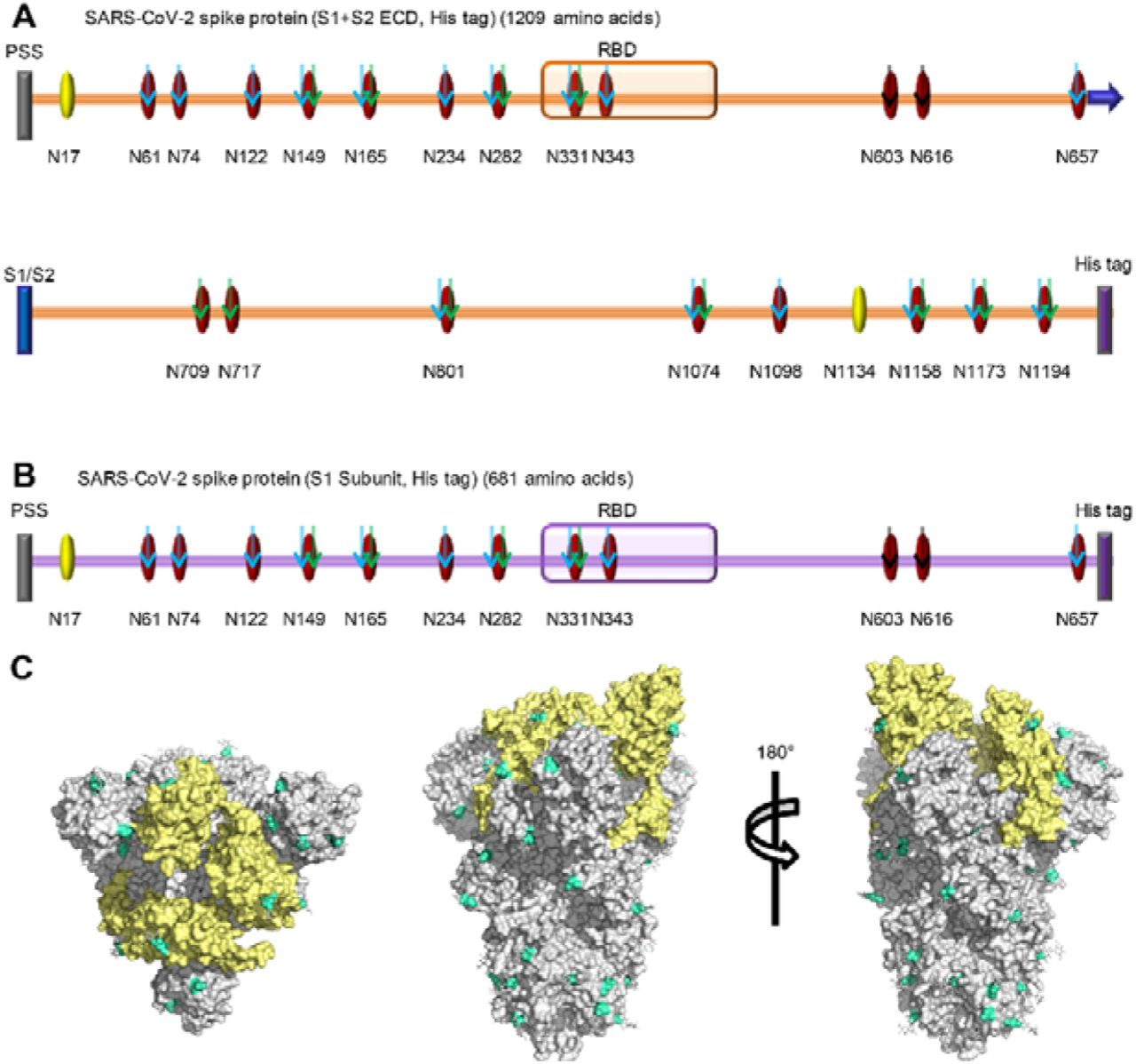 N-glycosites characterization of SARS-CoV-2 S proteins. (A and B) N-glycosites of the recombinant SARS-CoV-2 S protein or subunits expressed in insect cells (A) and human cells (B). PSS: putative signal sequence; RBD: receptor-binding domain; S1/S2: S1/S2 protease cleavage site; Oval: potential N-glycosite; Yellow oval: ambiguously assigned N-glycosite; Red oval: unambiguously assigned N-glycosite; Blue arrow: unambiguously assigned N-glycosite using trypsin digestion; Green arrow: unambiguously assigned N-glycosite using Glu-C digestion; Yellow arrow: unambiguously assigned N-glycosite using the combination of trypsin and Glu-C digestion. The unambiguously glycosite was determined by at least twice identification within each digestion list in Table S1 and Table S2. (C) N-glycosites were demonstrated in the three-dimensional structure of the SARS-CoV-2 S protein trimers (PDB code: 6VSB). RBDs, yellow; N-glycosites, blue.