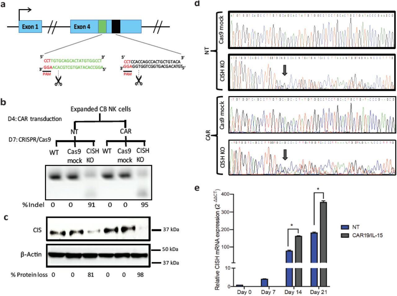 CRISPR/Cas9-mediated deletion of CISH in iC9/CAR19/IL-15 NK cells. a , Schematic representation of CRISPR/Cas9-mediated CISH KO using two guide RNAs (gRNA) targeting exon 4 of the CISH gene. b,c, CB-NK cells were expanded with K562 based feeder cells and IL-2, then either left non-transduced (NT) or transduced with a retroviral vector expressing iC9/CAR19/IL-15 construct on day 4 of expansion. On day 7 of expansion, NT and iC9/CAR19/IL-15-expressing CB-NK cells were nucleofected with Cas9 alone (Cas9 mock), Cas9 preloaded with gRNA targeting CISH exon 4 ( CISH KO) or non-nucleofected (WT). The CISH KO efficiency was determined by PCR ( b ) and western blot analysis ( c ). d , Sanger sequencing results showing multiple peaks reflecting non-homologous end joining (NHEJ) events in NT or iC9/CAR19/IL-15 (CAR) NK cells that underwent CISH KO compared to single peaks in CTRL (Cas9 mock). Arrows indicate the base pair position where the gene editing started. e , Bar graphs showing the relative mRNA expression levels of CISH determined on days 0, 7, 14 and 21 of expansion in NT (blue) and iC9/CAR19/IL-15 transduced (grey) NK cells by reverse transcription polymerase chain reaction (RT-PCR) (n=3). Note that on days 0 and 7 only data for NT-NK cells are included since the CAR transduction step is performed on day 4 of expansion.18 S ribosomal <t>RNA</t> (18S) was used as the internal reference gene. Bars represent mean values with standard deviation, *p ≤ 0.05.