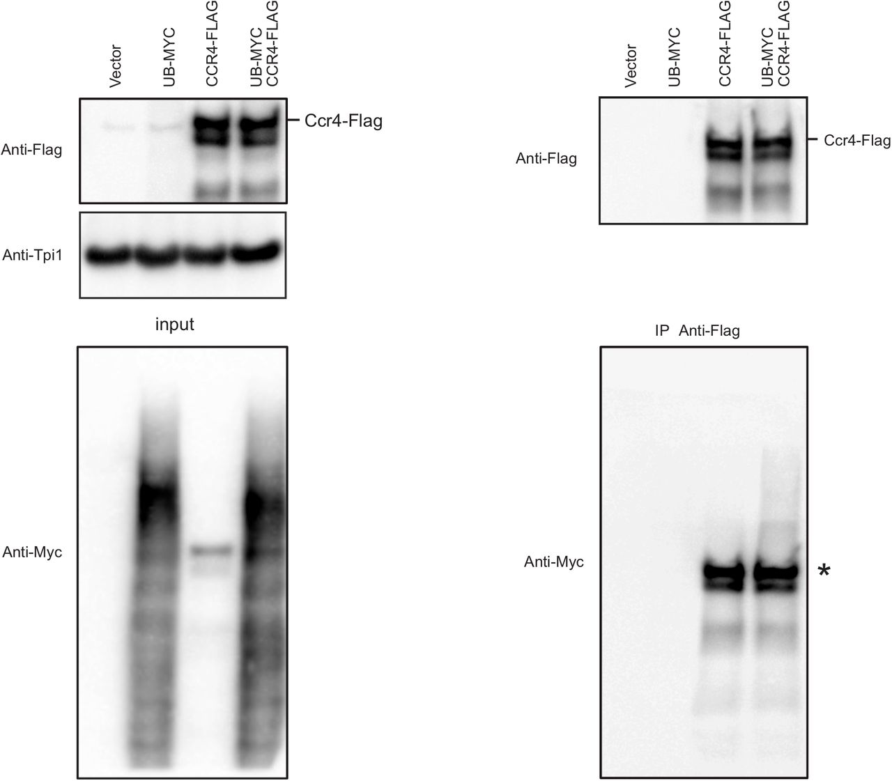 Ccr4 does not bind to cellular ubiquitin conjugates under denaturation conditions IP Experiments were done as in Figure 5B except the lysates were subjected to denaturation by addition of 2% SDS, 1% β-mercaptoethanol and heating at 95°C for 5 min. Ccr4-3XFLAG protein was immunoprecipitated as described in methods section. Input levels (left panel) and IP eluate (right panel) were analyzed by western blots using anti-Myc and anti-Flag antibodies. Tpi1 was used as loading control.