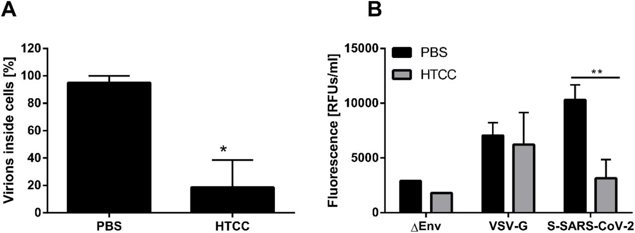 Coronavirus internalization into susceptible cells is hampered by HTCC. (A) Pre-cooled HAE cultures were incubated with ice-cold MERS-CoV suspension in the presence or absence of HTCC-63 (200 μg/ml) for 2 h at 37°C. Next, cells were fixed in PFA and immunostained for MERS-CoV N protein and actin. Virus entry was analyzed with confocal microscopy. The data shown are representative of three independent experiments, each performed in triplicate. * P