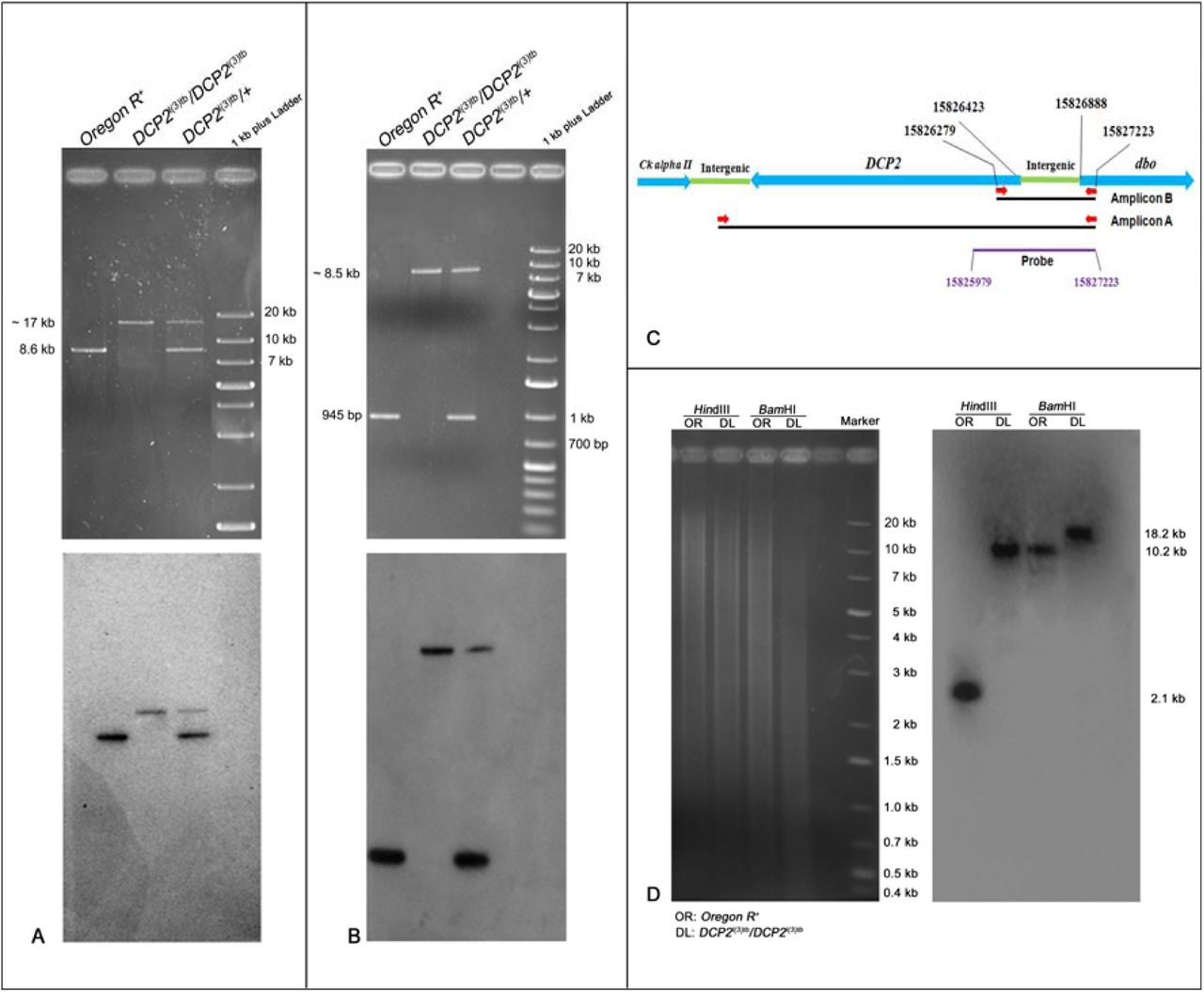 Gel electrophoretogram showing the PCR analysis of the full-length DCP2 (A) and candidate region (B) in the wild type, mutant and the heterozygote. The schematic in C shows the gene arrangement along the chromosome along with the important coordinates. The primers are indicated by red arrows. For amplification of the full – length gene, the wild type amplicon is of 8.6 kb while the mutant amplicon is sized ∼17 kb (A, upper half), whereas the wild type amplicon for the candidate region is of 945 bp while the mutant amplicon is sized ∼8.5 kb (B, upper half). The heterozygote harbors both the alleles (wild type and mutant) and thus shows both the amplicons. The lower half in both A and B shows the the blot of the same probed with the pGEM-T-812 probe which spans the candidate mutated region in DCP2 and is represented by the purple line. D shows the gel electrophoretogram and Southern blot of DCP2 in the wild type and mutant genome. Hin dIII digested genomic DNA showed banding at ∼ 2.1 kb in the wild type genome as against ∼ 10 kb in the mutant genome, the size difference being almost in agreement with the banding profile exemplified by Bam HI digestion, with the wild type genome hybridizing at ∼ 10.2 kb and the mutant at ∼ 18 kb.