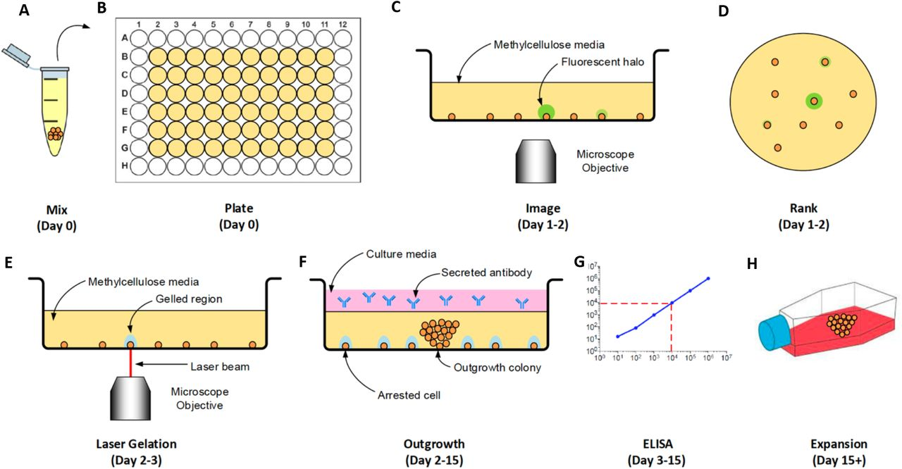 Process to select for high-producing CHO cell clones using SLG. A: CHO cells are mixed into a media solution containing 1% methylcellulose and 1% CloneDetect to detect secreted IgG4. B: The suspension is plated into a 96-well plate. C: Each well is scanned in bright field and fluorescence. D: Colonies are ranked based on antibody secretion per cell. E: The top-producing cells were retained, while SLG encapsulates the remaining cells in hydrogel to arrest their growth. F: Liquid media is added and the remaining cells are allowed to propagate. G: Antibody secretion rate can be measured via ELISA by sampling the supernatant. H: The culture is expanded using large containers.