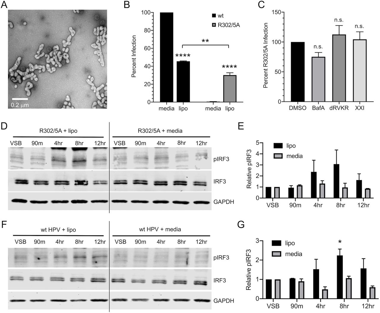 Bypassing HPV's Natural Trafficking Pathway Activates cGAS/STING Addition of cationic lipids during infection with translocation-deficient R302/5A mutant HPV16 restores infectivity and allows for cGAS/STING sensing.  (A)  Electron micrograph of HPV16 complexed with the cationic lipid Lipofectamine 2000.  (B)  HaCaTs were infected with 2e8 vge/well of wildtype or R302/5A virion +/- cationic lipid (lipo) for 4 hr and infection was measured by luciferase assay 24h post-infection. While naturally non-infectious, addition of cationic lipids restored infectivity of the R302/5A mutant to levels nearly comparable to those of wildtype HPV16. Statistics calculated by one-way ANOVA ( P