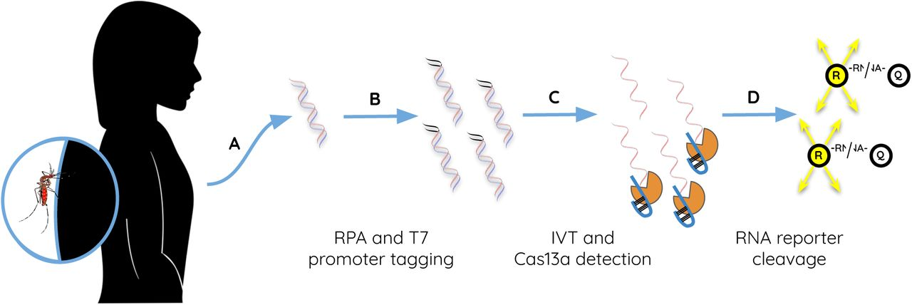 SHERLOCK reaction workflow. (A) DNA extracted from a patient with malaria or infected mosquito is subjected to (B) RPA including T7 promoter-tagged primers for amplification of the Plasmodium 18S rRNA or P. falciparum dhps genes, followed by (C) IVT and LwCas13a:crRNA complex binding to genus-, species-, or genotype-specific target RNA. This binding triggers collateral (D) activation of LwCas13a RNAse activity and cleavage of reporter RNA, separating the fluorescent reporter from its quencher and producing a signal. Abbreviations: RPA, recombinase polymerase amplification; IVT, in vitro transcription; R, reporter; Q, quencher.
