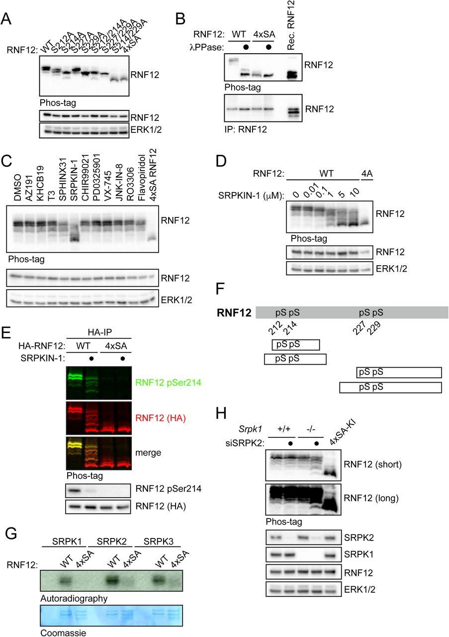 RNF12/RLIM E3 ubiquitin ligase is selectively phosphorylated by SRPKs at a SR-rich motif. (A) RNF12 knockout ( Rlim -/y ) mESCs were transfected with WT RNF12 or the indicated point mutants and SR-motif phosphorylation analysed by Phos-tag immunoblotting for RNF12. RNF12 4xSA = S212A/S214A/S227A/S229A. RNF12 and ERK1/2 levels are shown as a loading control. (B) RNF12 knockout ( Rlim -/y ) mESCs were transfected with the indicated RNF12 constructs and lysates treated with λ-phosphatase and analysed by Phos-tag immunoblotting for RNF12. Recombinant RNF12 is included as an un-phosphorylated control. (C) mESCs were treated with 10 µM of the of the following CMGC kinase inhibitors: AZ-191 (DYRK1B inhibitor), KH-CB19 (CLK-DYRK inhibitor), T3 (CLK inhibitor), SPHINX31 (SRPK1 inhibitor), CHIR-99021 (GSK3 inhibitor), PD-0325901 (MEK inhibitor), VX-745 (p38 inhibitor), JNK-IN-8 (JNK inhibitor), RO-3306 (CDK1 inhibitor) and Flavopiridol (CDK7/9 inhibitor) for 4 h and RNF12 phosphorylation analysed via Phos-tag immunoblotting for RNF12. RNF12 4xSA is included as an unphosphorylated control. RNF12 and ERK1/2 levels are shown as a control. (D) ESCs were treated with the indicated concentrations of SRPKIN-1 for 4 h and RNF12 phosphorylation analysed via Phos-tag immunoblotting for RNF12. (E) mESCs were treated with 10 µM SRPKIN-1 for 4 h and RNF12 phosphorylation analysed from HA-RNF12 immunoprecipitates via RNF12 phos-tag and phospho-Ser214 immunoblotting using multiplex infrared immunoblot. (F) Phosphorylated peptides detected via mass spectrometry analysis of RNF12 following in vitro phosphorylation by SRPK1. pS=phospho-Serine. (G) Autoradiography of RNF12 wild-type (WT) or S212A/S214A/S227A/S229A (4xSA) following a radioactive kinase reaction with SRPK1, SRPK2 or SRPK3. Coomassie staining of RNF12 protein is shown as a loading control. (H) Srpk1 -/- mESCs were transfected with control or SRPK2 siRNA and RNF12 phosphorylation was analysed via phos-tag immunoblotting. ERK1/2 lev
