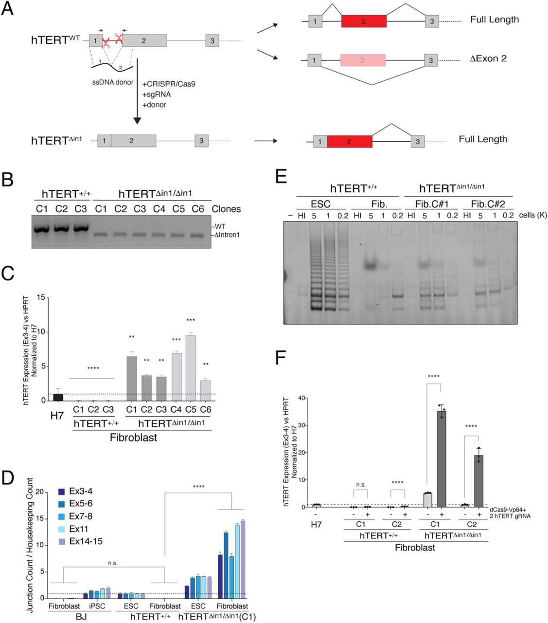 Forced retention of exon-2 abolishes silencing of hTERT upon differentiation. A) Schematic illustration of intron 1 deletion by CRISPR/Cas9 gene editing and the predicted splicing pattern. Cells were co-transfected with two sgRNA that cleave within hTERT intron-1 and a 200bp single-stranded (ss) DNA donor containing 100bp sequence from exon-1 and exon-2 directly concatenated. B) Genotyping PCR from cells with the indicated genotype. PCR products: wild type, 584bp; Δintron1, 480bp C) Quantitative RT-PCR for hTERT mRNA in cells with the indicated genotype. hTERT expression is silenced in fibroblasts derived from wildtype ESC clones, whereas hTERT levels remain elevated upon differentiation of hTERT Δin1/Δin1 ESCs. Values are normalized to hTERT +/+ H7 ESC (n=3, **: p