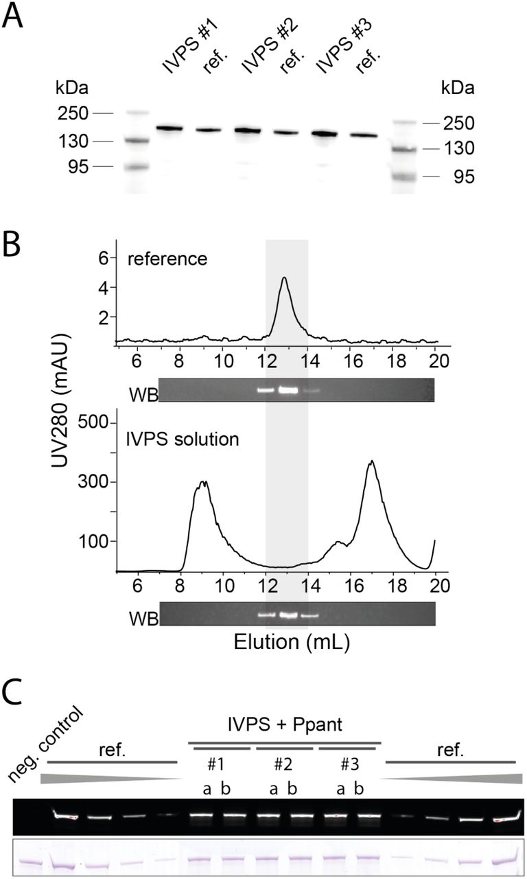 Synthesis of BpsA with the PURE cell-free system. (A) Expression control by Western blotting with anti-Strep antibodies performed in three independent reaction solutions (#1-3). BpsA was applied as holo -protein, produced by IVPS with simultaneous phosphopantetheinylation. Self-cast 9 % Tris-Tricine gel. Strep-tagged BpsA has a molecular weight of 142.7 kDa. For the uncropped blot, see Figure S2A. (B) SEC profiles and Western Blot detection of elution fractions. (top) Recombinantly produced BpsA and (bottom) IVPS reaction solution including phosphopantetheinylation. (C) Quantification of protein production yields and phosphopantetheinylation efficiency. BpsA was first produced by IVPS and then phosphopantetheinylated with Sfp and CoA-647 (purchased from NEB). Samples from three independent reactions (#1-3) were applied in repetition (a b). For calibration, recombinantly produced BpsA, diluted in the PURExpress reaction solution, was loaded in amounts of 1.25, 0.63, 0.31 and 0.16 pmol. 9 % Tris-Tricine gel as in panel A. For the uncropped gels, see Figure S2B. Overall, three times three reactions, each applied in duplicate (18 bands), were used for quantification of BpsA production and phosphopantetheinylation for the parallel and the sequential protocol, respectively (Figure S3 A-C).