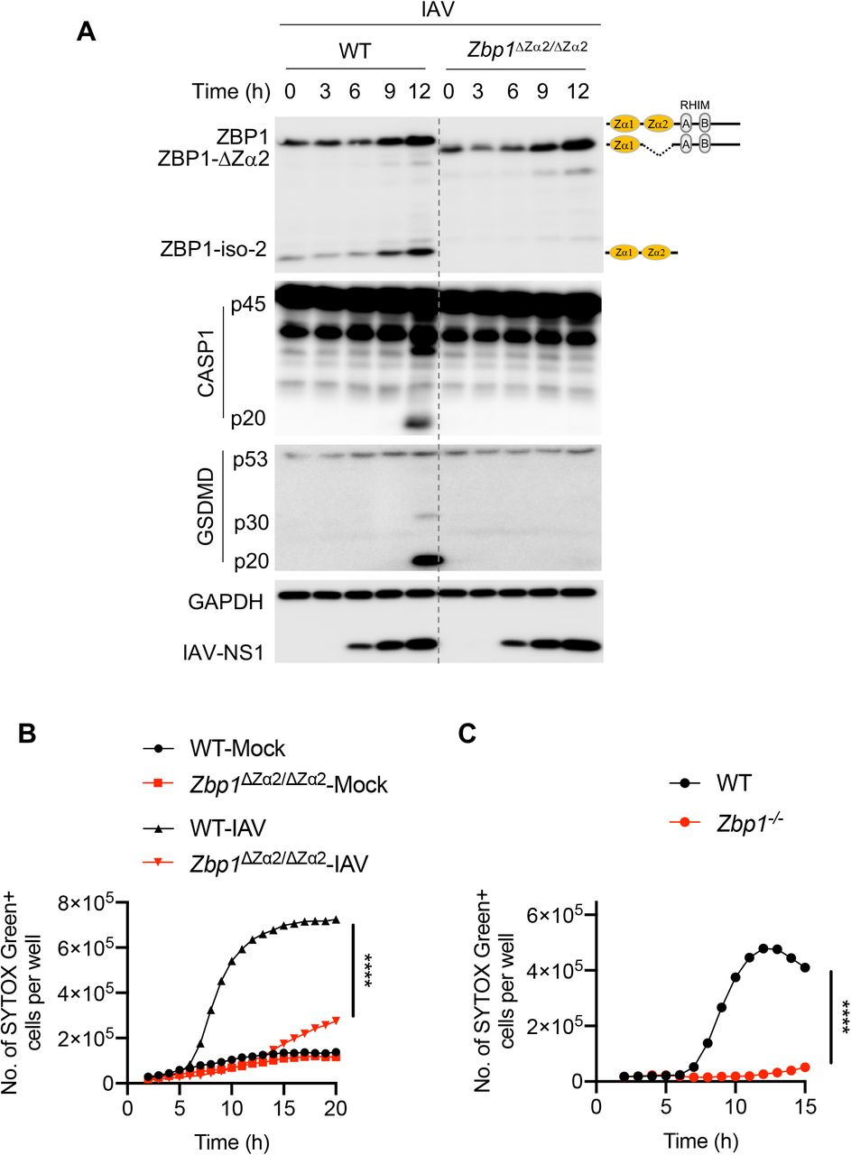 Zα2 domain of ZBP1 is critical for triggering IAV-induced NLRP3 inflammasome activation and PANoptosis A, Immunoblot analysis of ZBP1, caspase-1 (CASP1), gasdermin D (GSDMD), IAV-NS1, and GAPDH in WT and Zbp1 ΔZα2/ΔZα2 BMDMs infected with IAV (mouse adapted, influenza A/Puerto Rico/8/34 [PR8; H1N1]). B and C, Cell death as measured by the number of SYTOX Green + cells. BMDMs were infected with IAV, and cell death was monitored at regular intervals. **** P