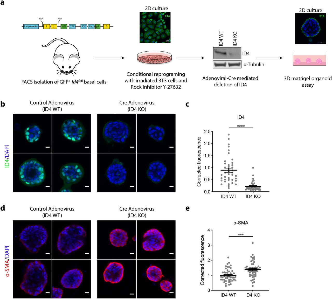 ID4 inhibits myoepithelial differentiation of organoids. a) Schematic diagram of 3D Matrigel organoid assay. ID4-GFP+ basal cells were FACS purified from adult (10-11 weeks) ID4-GFP reporter mice. Exon 1 and 2 of Id4 are floxed and a GFP reporter cassette introduced. Basal cells are reprogrammed in culture using ROCK inhibitor Y-27632 and irradiated NIH-3T3 feeder cells. Adenoviral Cre is used to knock out ID4 as shown by western blotting. Single cells are then seeded on top of a Matrigel plug and grown for 6 days followed by immunofluorescent staining and quantification. Organoids grown from conditionally reprogrammed basal cells were treated with control GFP adenovirus (ID4 WT) or with Cre Adeno virus (ID4 KO) then stained for ID4 (b) and α-SMA (d). Scale bar = 10 μm. Fluorescence was quantified for ID4 (c) and α-SMA (e) in approximately 10 organoids per experiment. n=4. Unpaired two-tailed students t-test. *** p