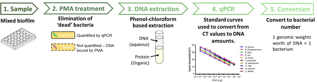 Schematic diagram of the pipeline used to quantify individual species in a mixed biofilm. Samples are PMA (propidium monoazide) treated to ensure quantification of genomic DNA only from live cells. After treatment, cells are lysed, DNA is extracted, followed by qPCR quantification of DNA and subsequent conversion to bacterial numbers.
