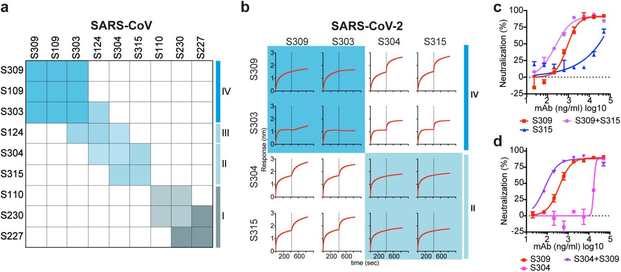 MAb cocktails enhance SARS-CoV-2 neutralization. a, Heat map showing the competition of mAb pairs for binding to the SARS-CoV S B domain as measured by biolayer interferometry (as shown in Extended Data Fig. 9). b , Competition of mAb pairs for binding to the SARS-CoV-2 S B domain. c-d , Neutralization of SARS-CoV-2-MLV by S309 combined with an equimolar amount of S304 or S315 mAbs. For mAb cocktails the concentration on the x axis is that of the individual mAbs.