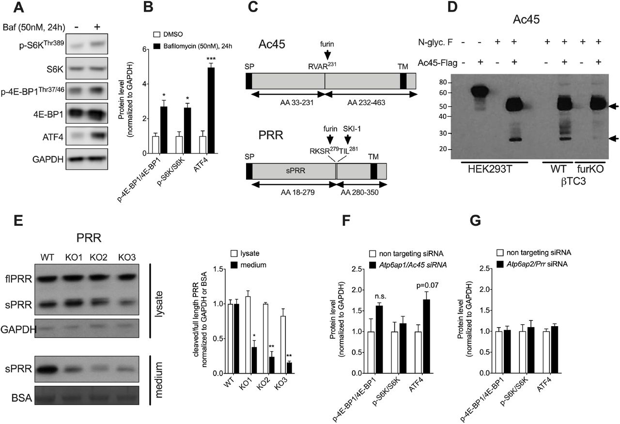 Effect of V-ATPase inhibition on mTORC1/ATF4 pathway in βTC3 cells and processing of Ac45 and PRR in βTC3 (WT and furKO) cells. (A) Western blot for p-S6K, total S6K, p-4E-BP1, total 4E-BP1, ATF4 in βTC3 cells incubated with the V-ATPase inhibitor bafilomycin A1 (50 nM final concentration) for 24h. GAPDH was used as a loading control. (B) Western blot quantification from n=3 independent experiments. (C) Schematic illustration of Ac45 and PRR protein structures. Furin and SKI-1 cleavage sites are indicated by arrows. SP, signal peptide; TM, transmembrane domain; AA, amino acids, SKI-1 (Subtilisin Kexin Isozyme-1). (D) HEK293T and βTC3 (WT and furKO) cells were transfected with a Flag-tagged Ac45 construct. Western blot of HEK293T cell lysate before and after N-glycosidase F (N-glyc F) treatment, with the processed form (24 kDa) appearing only after <t>deglycosylation</t> (left HEK293T panel). Western blot of βTC3 cell lysate, wild type (WT) and furin knockout (furKO), both treated with N-glyc F (right panel). The indicated positions of proAc45 and Ac45 correspond to the predicted MW of the deglycosylated peptide backbone (46 kDa and 24 kDa respectively, black arrows). (E) Full length (fl) and soluble (s)PRR levels in the lysate (upper panel) and conditioned medium (lower panel) of furin knockout (furKO) and WT βTC3 cells. Three independent furKO clones were assessed. Quantifications on the right-hand side show n=3 independent experiments. *P