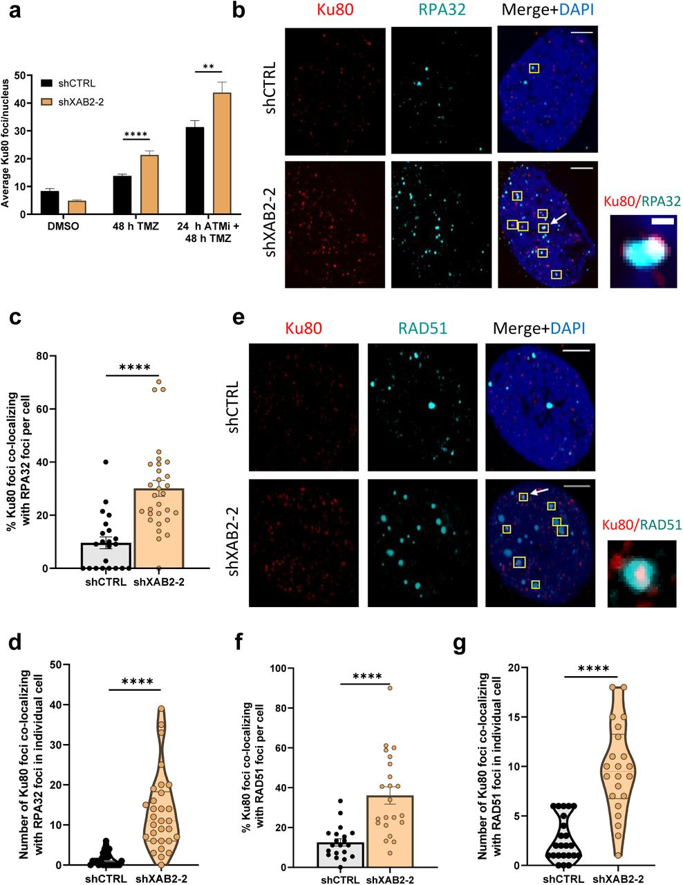 XAB2 prevents Ku retention on seDSBs induced by temozolomide. a , Quantification of the average number of Ku80 foci detected by immunofluorescence microscopy in control and XAB2-depleted U87 cells exposed to 15 μM TMZ (or DMSO) for 2 h and allowed to recover for 48 h in the absence or presence of the ATMi KU-55933. b , Representative immunofluorescence images used for the quantification of the number of colocalizing Ku80 (red)-RPA32 (cyan) foci following exposure of control and XAB2-depleted U87 cells to TMZ and recovery for 48 h. Examples of colocalized foci are highlighted by yellow squares, with one representative example (indicated by an arrow) shown in the close up section (scale bar = 0.1 μm). c - d , Percentage of colocalized Ku80-RPA32 foci per cell following exposure to TMZ as in c , quantified based on foci examination in individual cells, as presented in a violin plot ( d ). e - g , Same as b - d for the analysis of Ku80 (red) and RAD51 (cyan) foci colocalization. Scale bar = 5µm. The images are representative of 3 independent biological repeats. Bars represent mean ± s.e.m. Significant differences between specified comparisons were assessed by a t-test (unpaired, 2-tails) and are highlighted by stars (*P