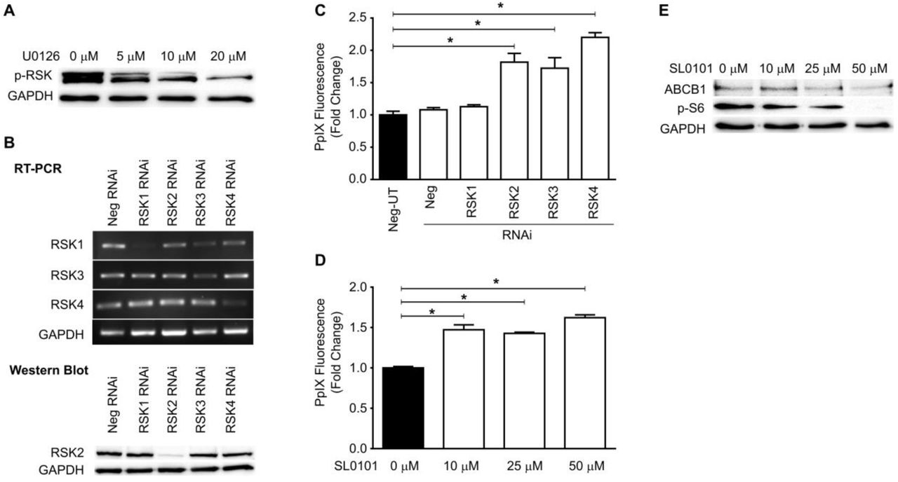 Oncogenic Ras regulates ABCB1 expression via RSKs. (A) Representative western blot showing RSK phosphorylation in RasV12 cells with or without MEK inhibition. (B) (Top) Representative gel image showing RSK1, RSK2, and RSK3 cDNA levels in RasV12 cells treated with or without various RSK siRNAs. (Bottom) Representative western blot showing RSK2 expression in RasV12 cells treated with or without various RSK siRNAs. (D, E) Fold change in PpIX accumulation in RasV12 cells (D) transfected with siRNA against RSKs and (E) treated with different concentrations of SL0101, a pan-RSK inhibitor. *p